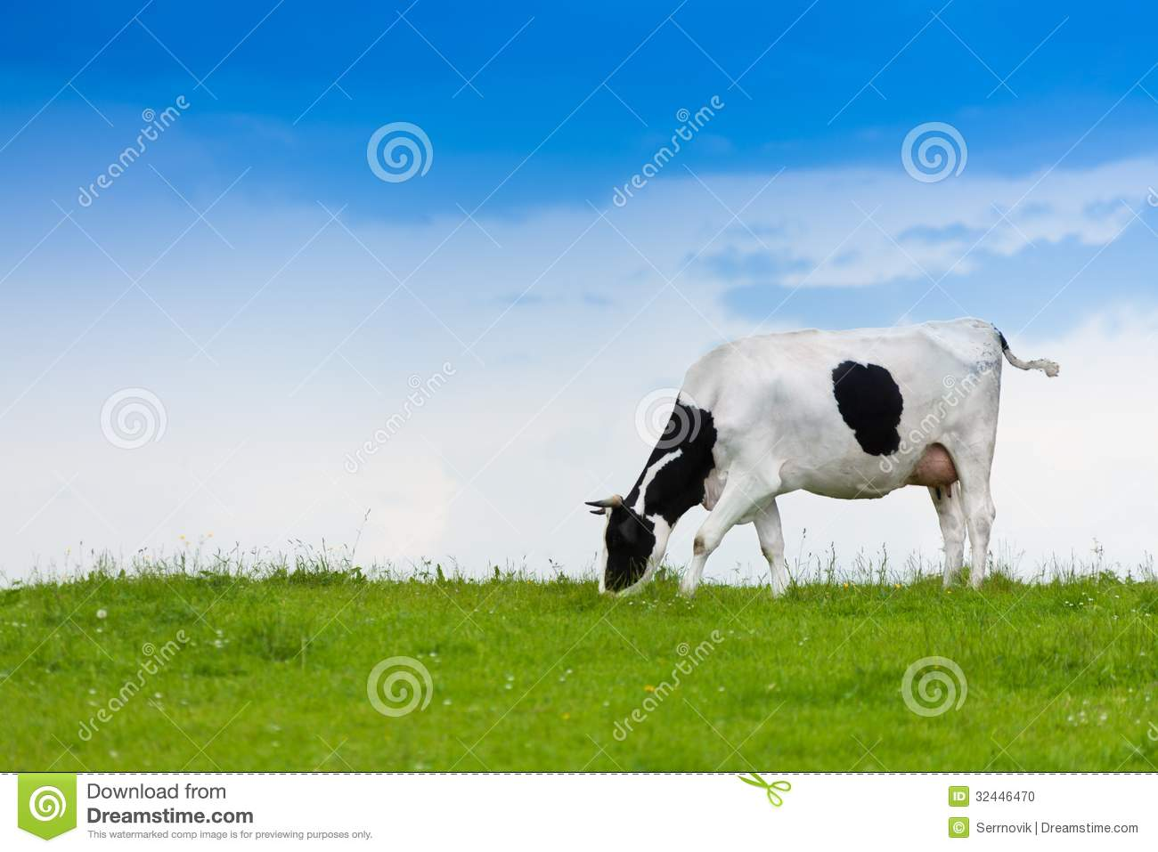 Cow eating grass stock...