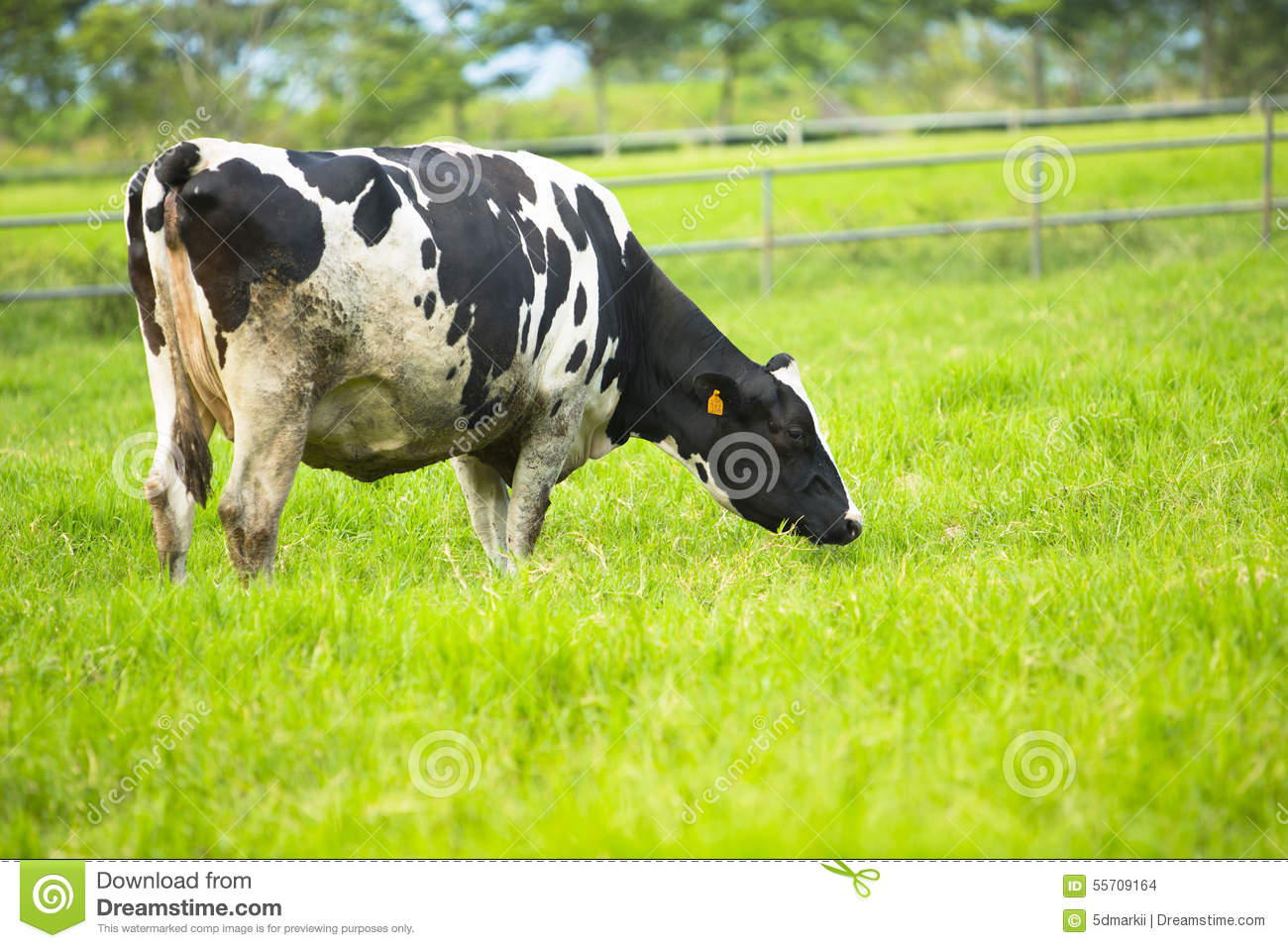 Cow Eating Grass In Farm Land Stock Photo Image 55709164