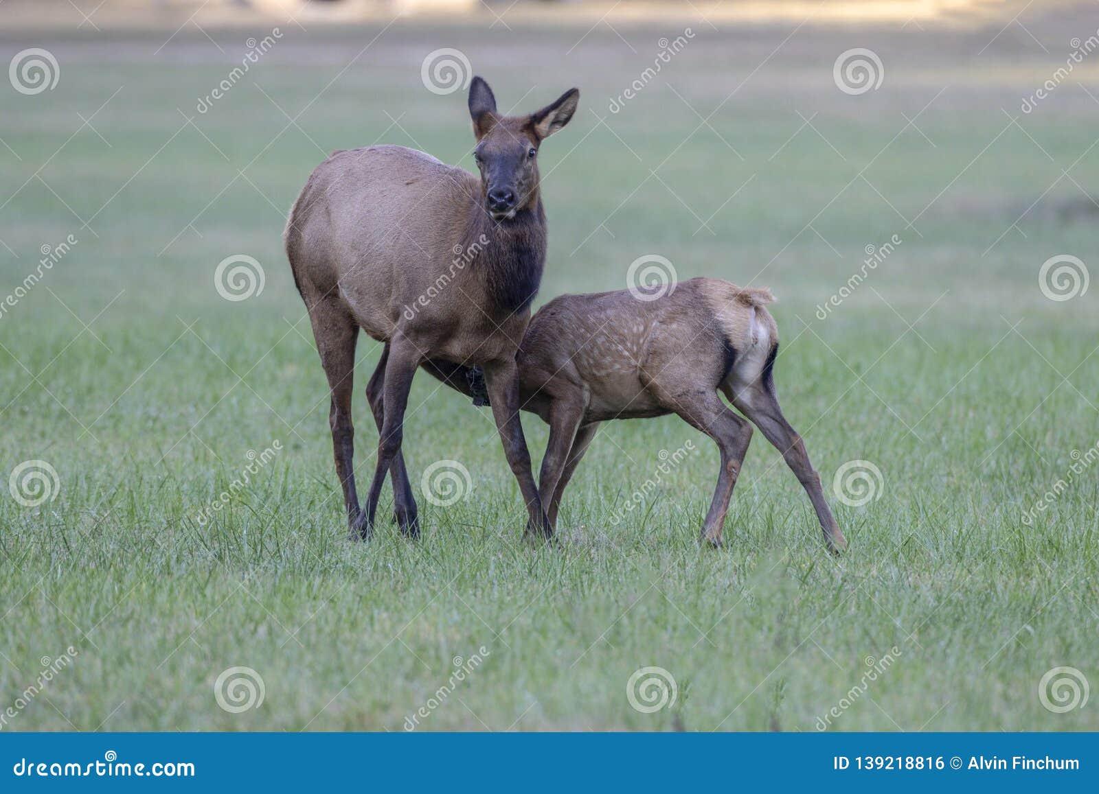 Cow elk and calf, Cervus canadensis, Great Smoky Mountains, Cherokee, North Carolina