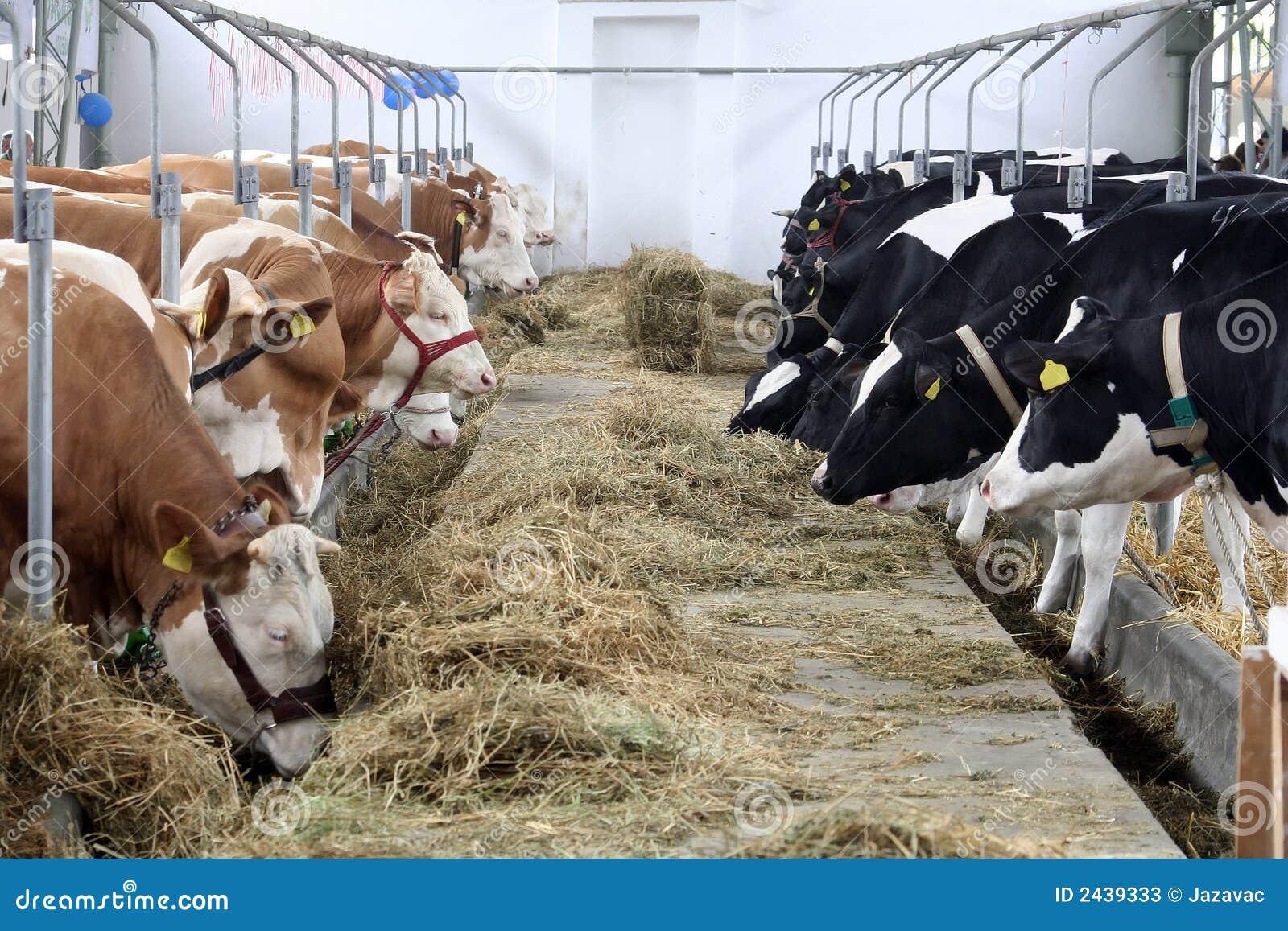 Cow Farm Stock Photos - Image: 2439333