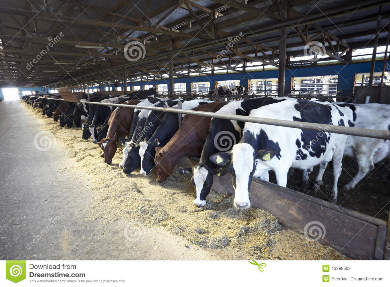 Showing picture: Cows On A Dairy Farm In