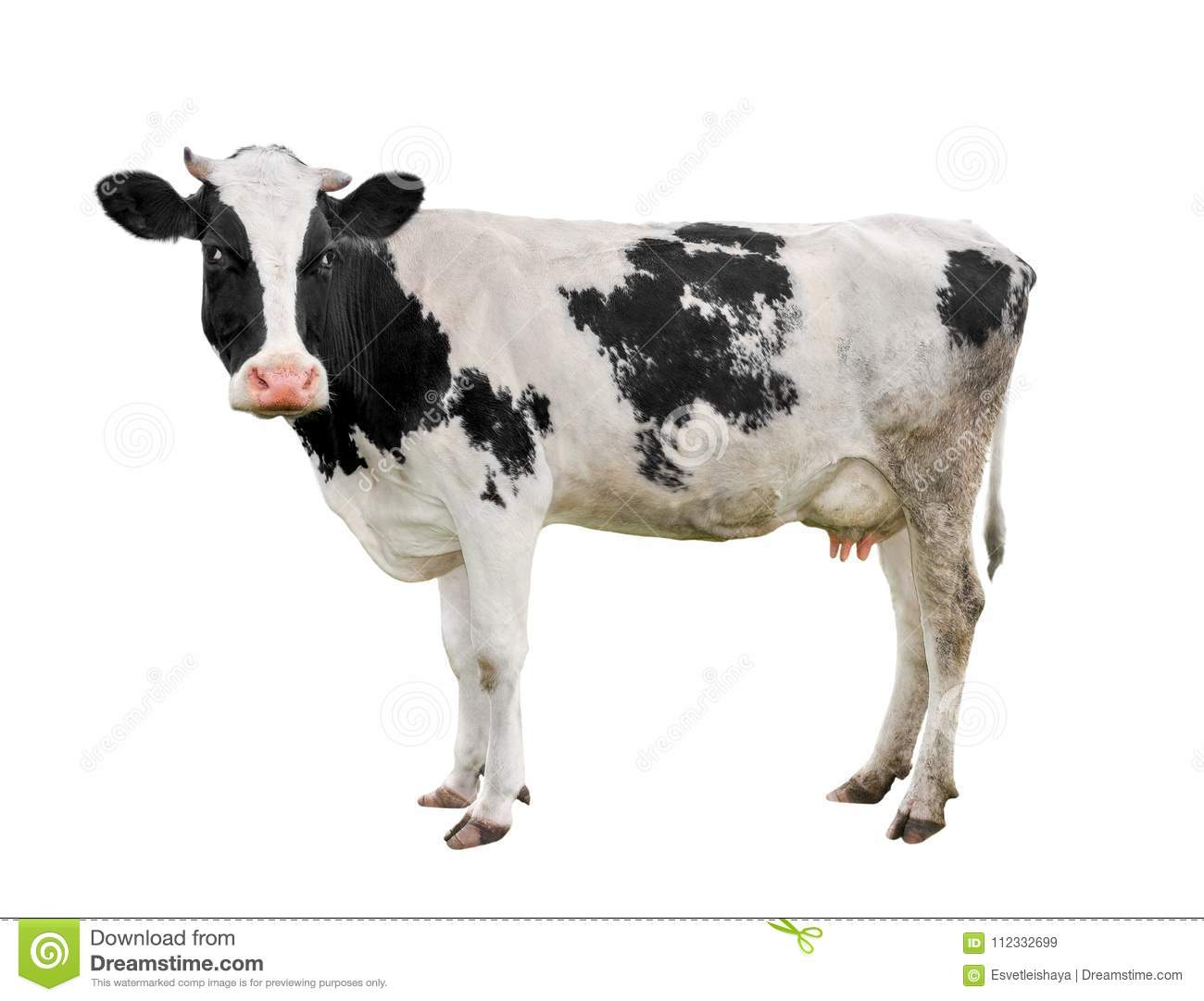 Cow full length isolated on white. Funny cute cow isolated on white. Young cow, standing full-length in front of white background