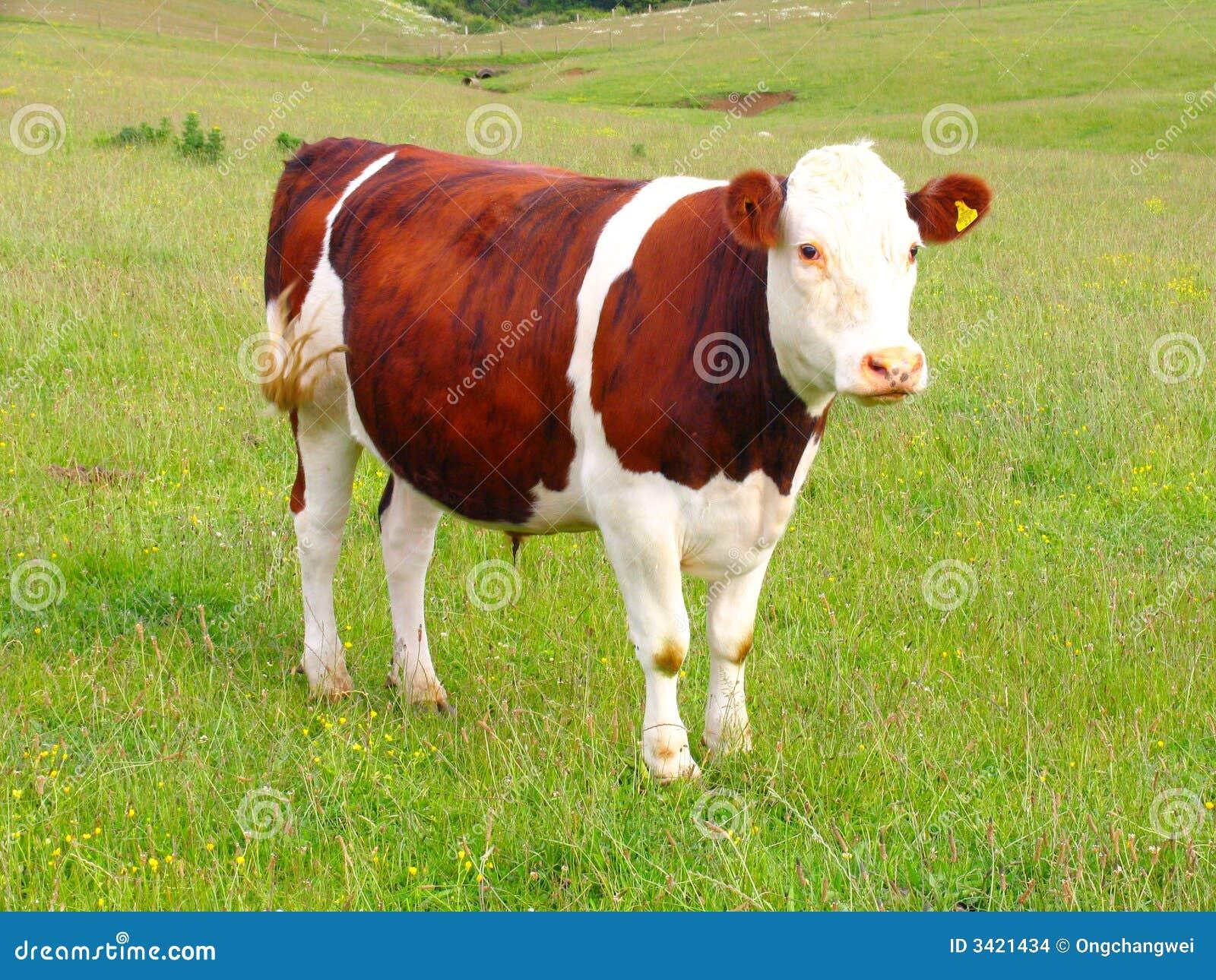 Cow And Grassland