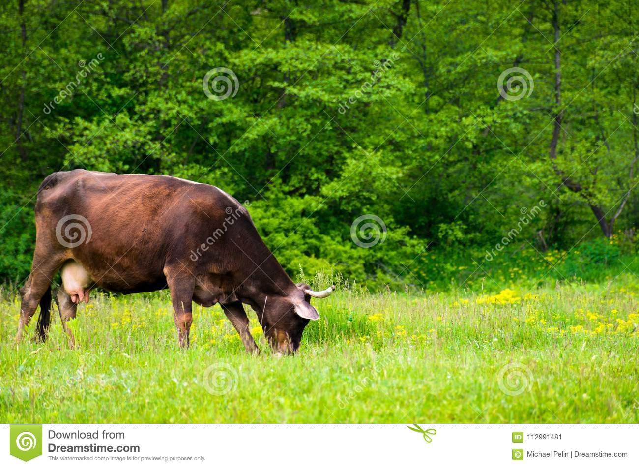 Cow grazing on the grassy meadow near the forest