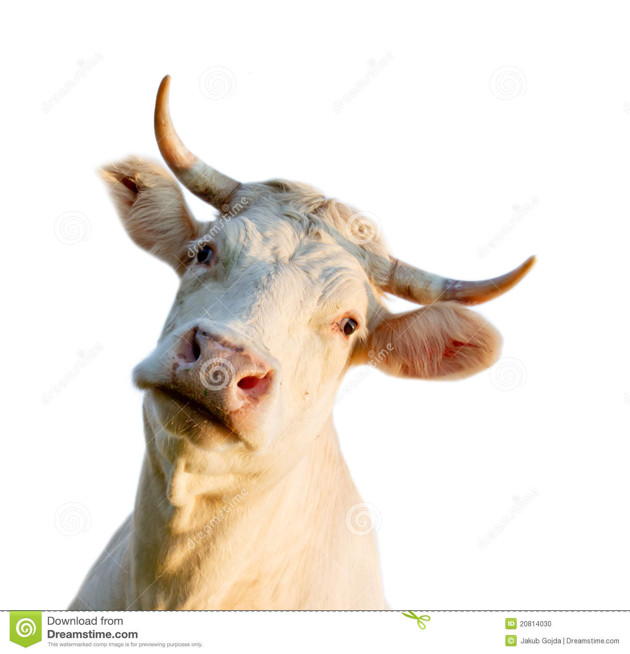 Cow Head Stock Photo - Image: 20814030