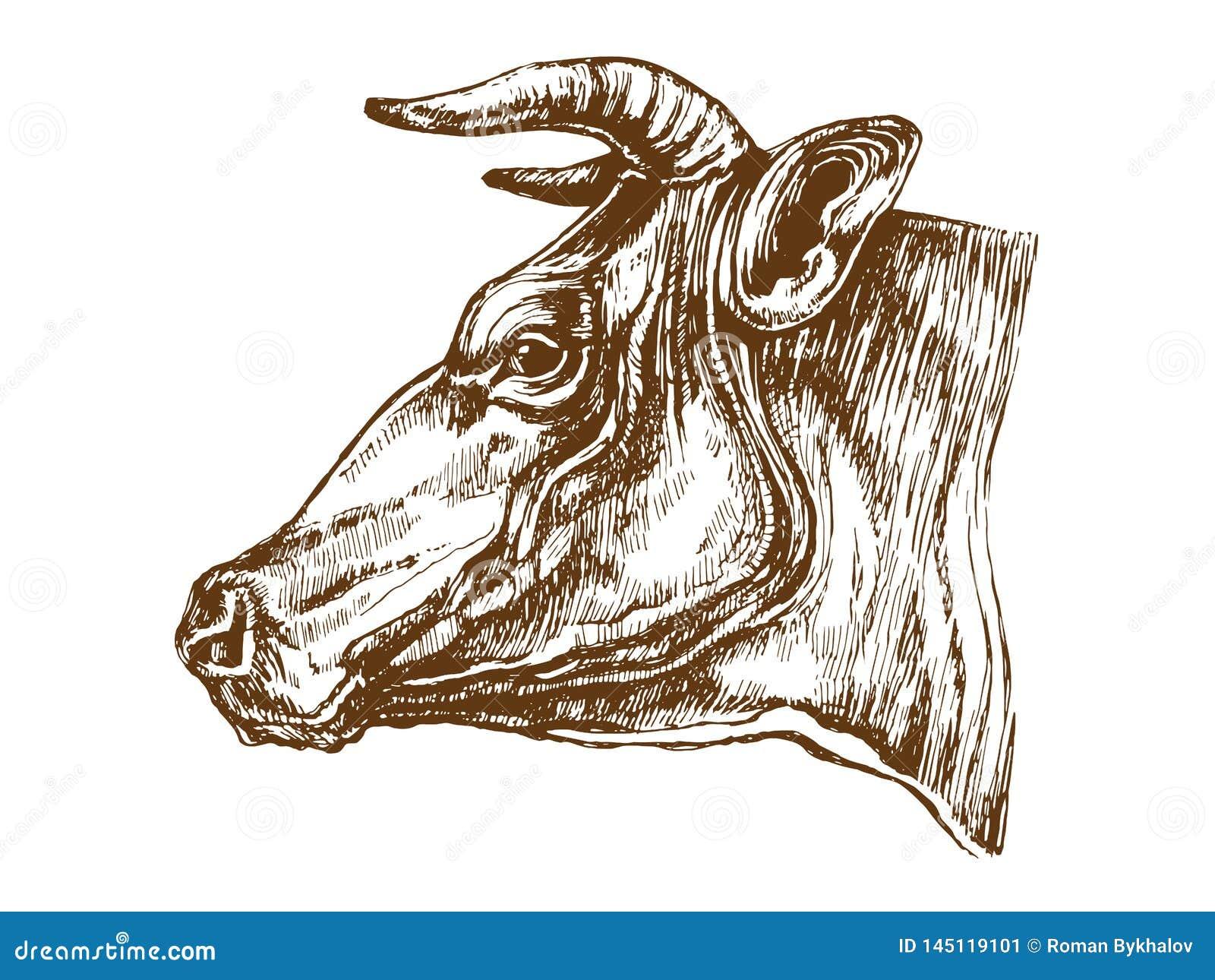 Cow head profile sketch