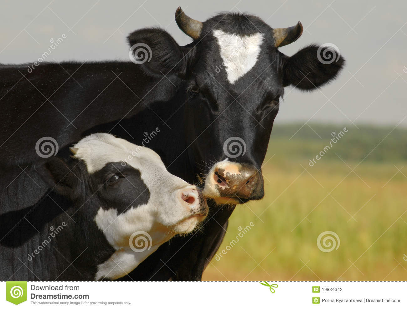 Cow and her calf kissing