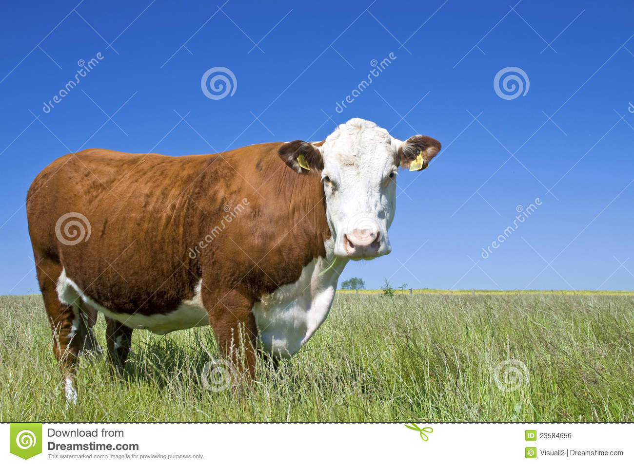 Cow Hereford, cow, cattle