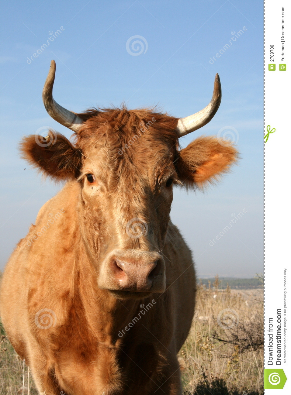 Cow With Horns Stock Photo  Image Of Rural  Cattle  Bovine