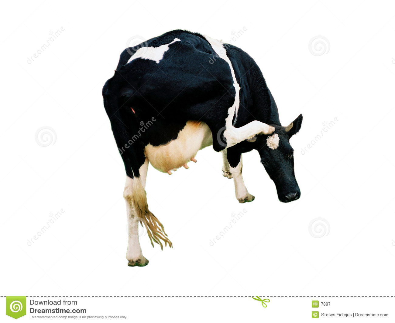 A cow, isolated