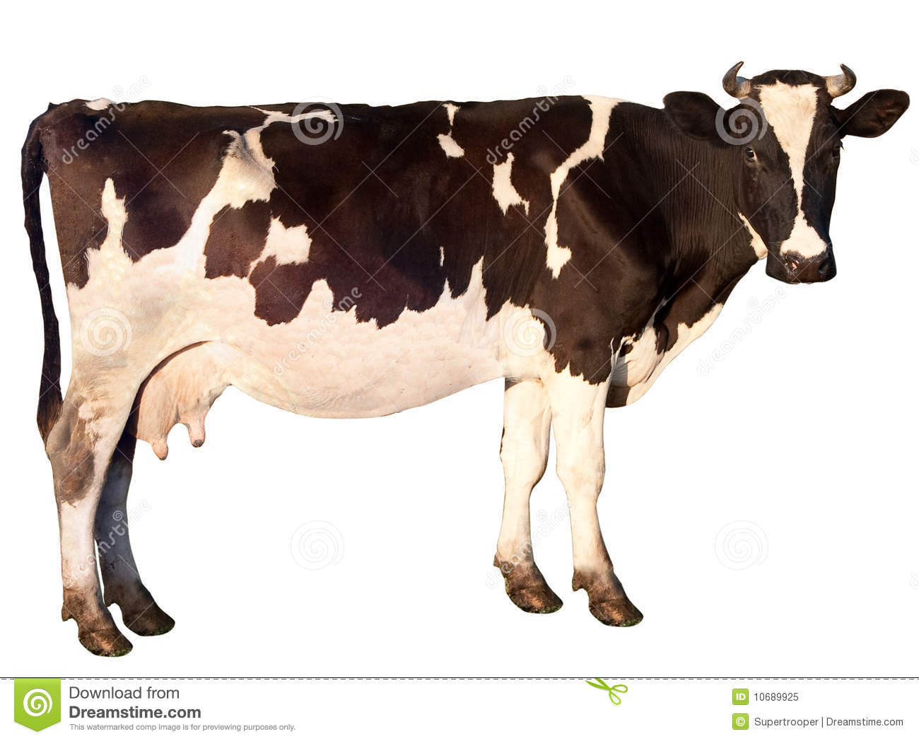 Cow Stock Photos Royalty Free Stock Images
