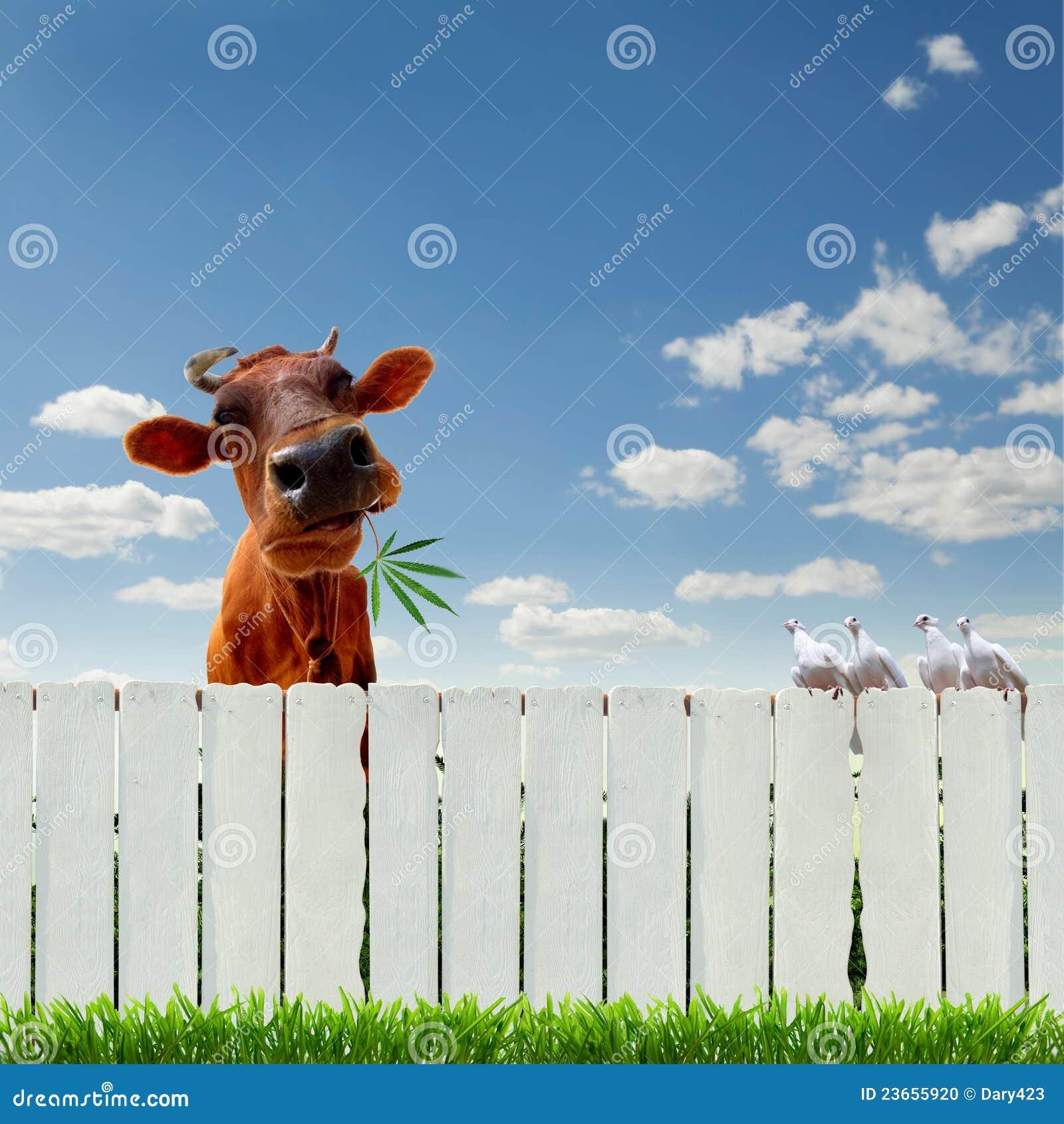 Cow With Marijuana Over The Fence Stock Photo Image