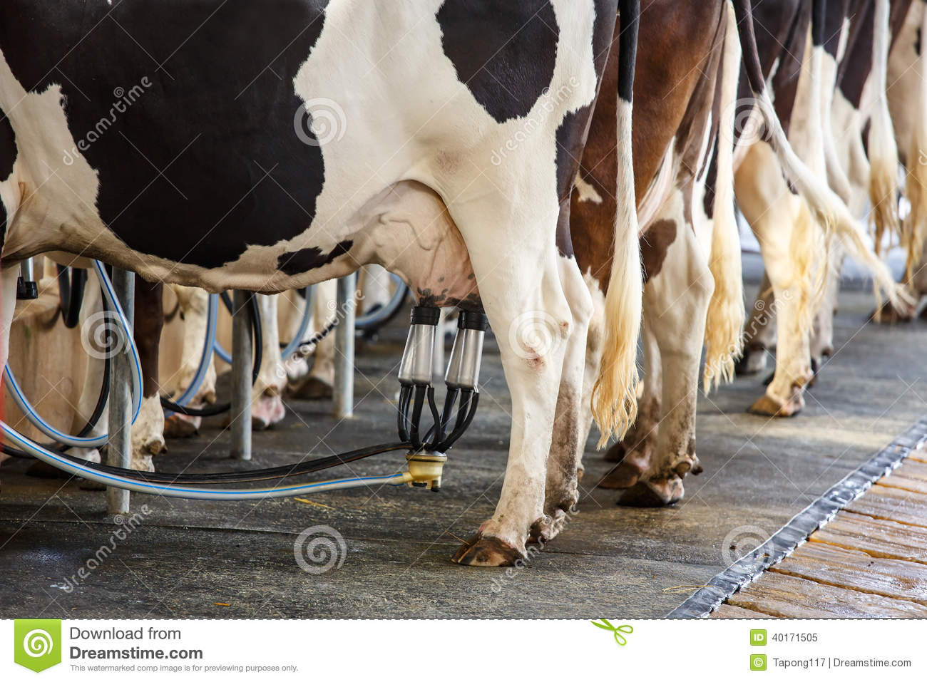 Cow milking facility