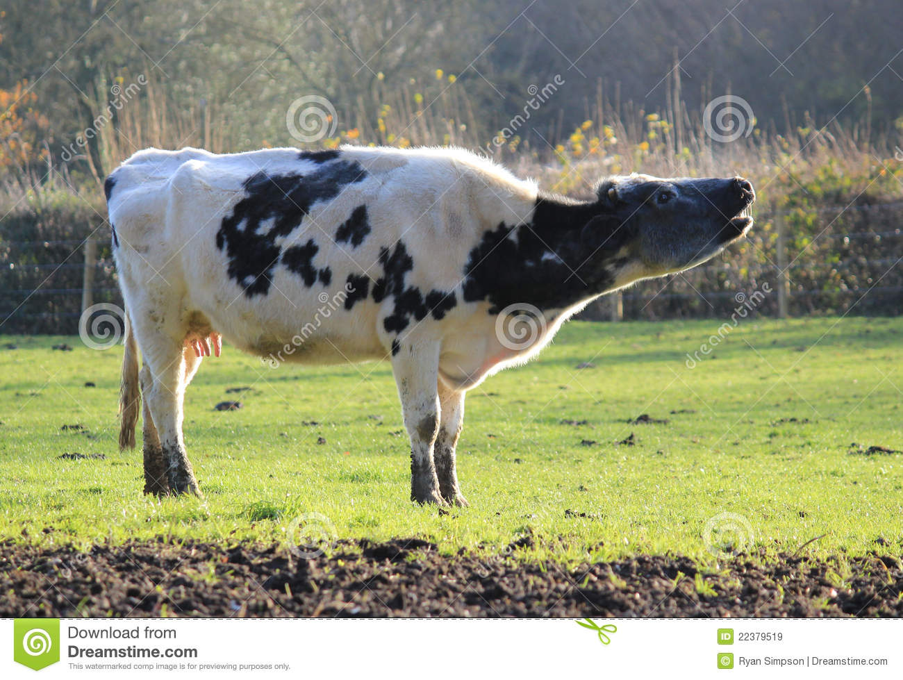 cow mooing royalty free stock images image 22379519