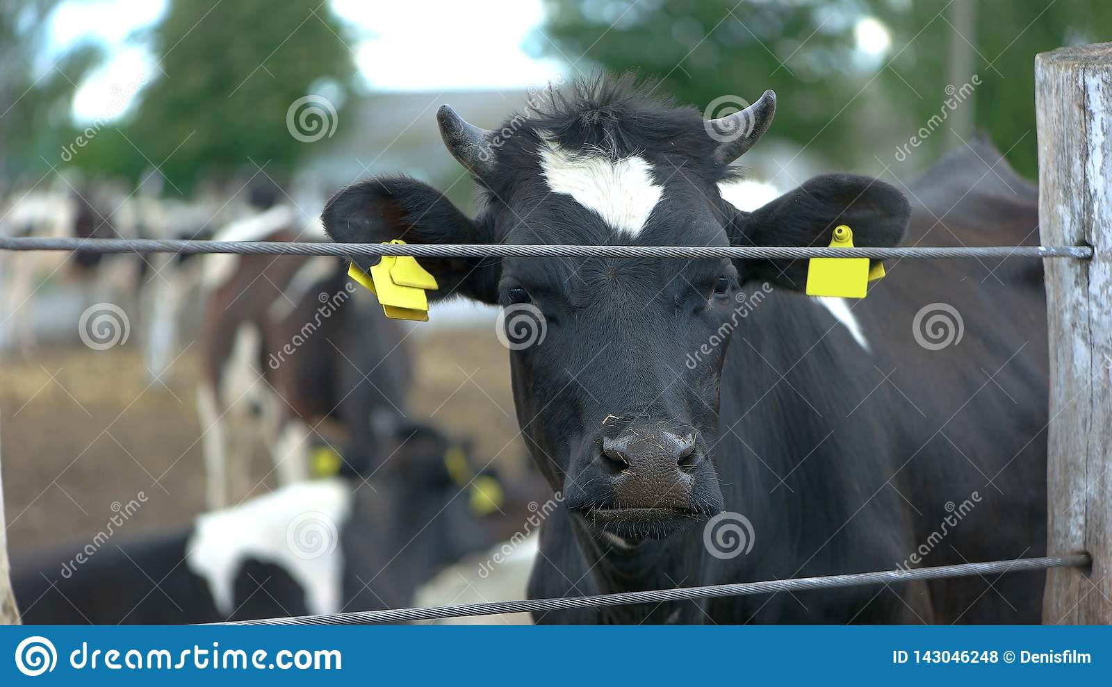 Cow near a fence.