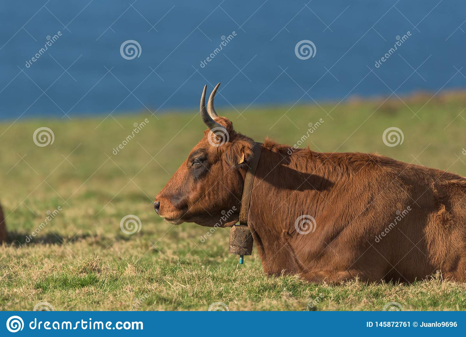 The cow. Cow on a pasture with the sea in the background stock image