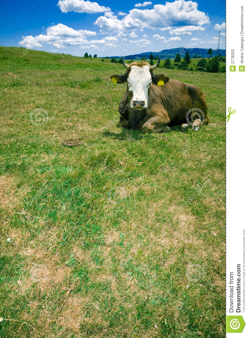 Cow resting on hill