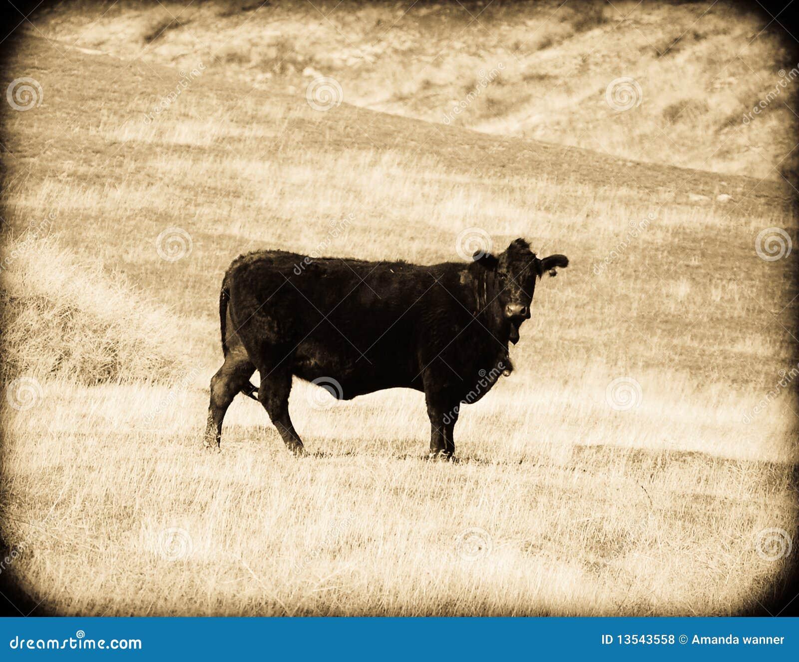 Cow rocznika