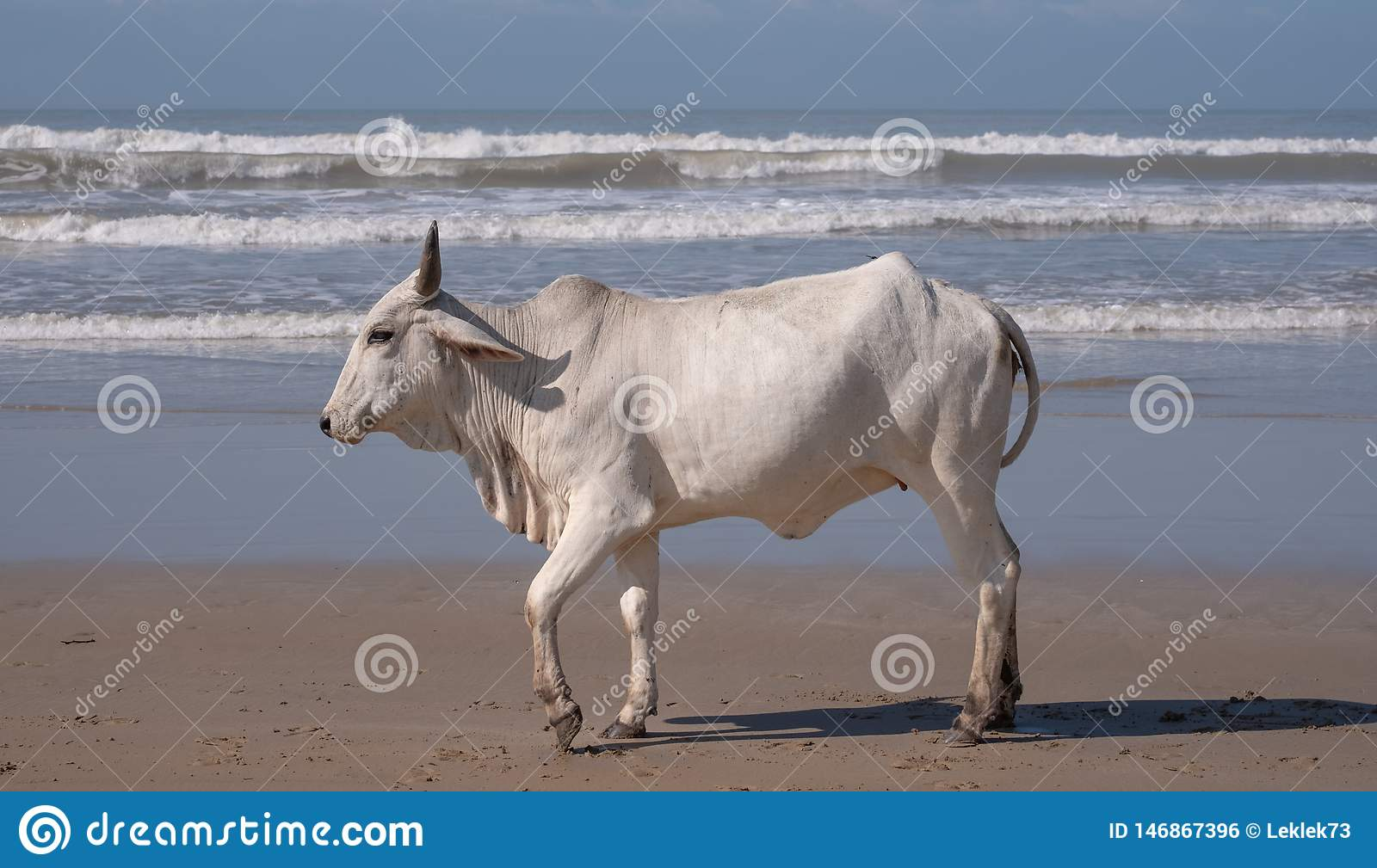Cow on the sand at Second Beach, Port St Johns on the wild coast in Transkei, South Africa