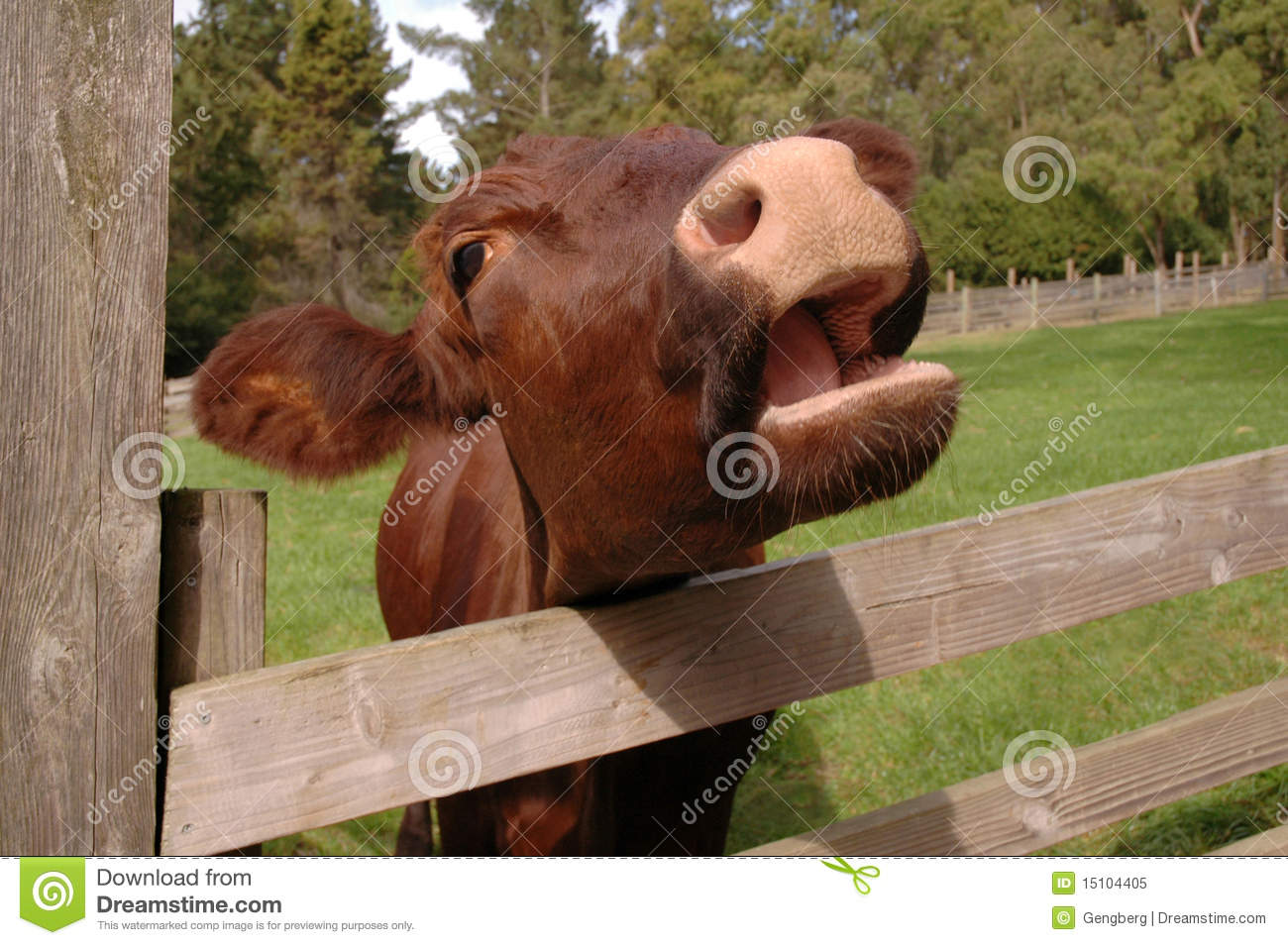Cow Saying Moo Royalty Free Stock Photo Image 15104405