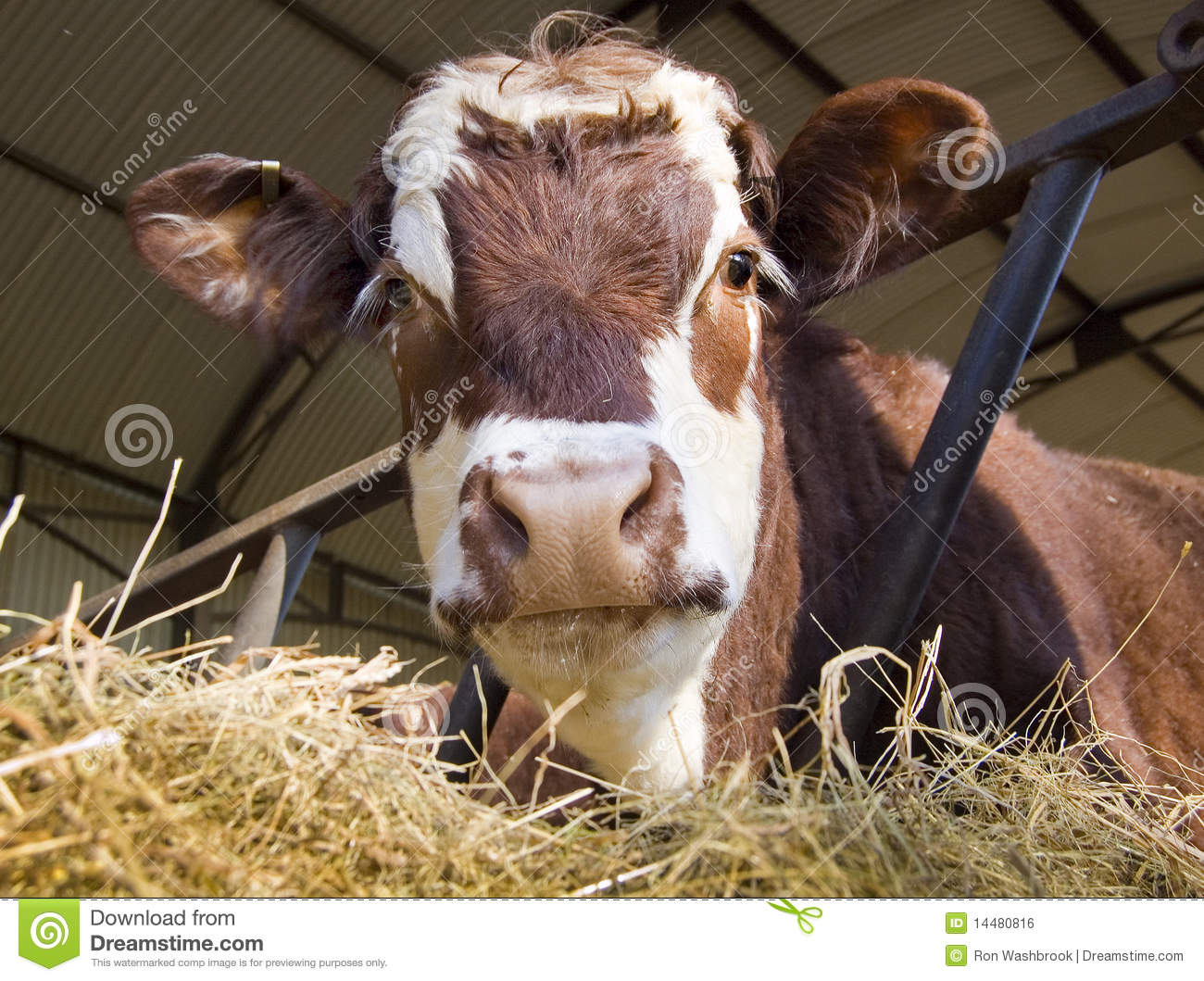 Cow In Shed Royalty Free Stock Image Image 14480816