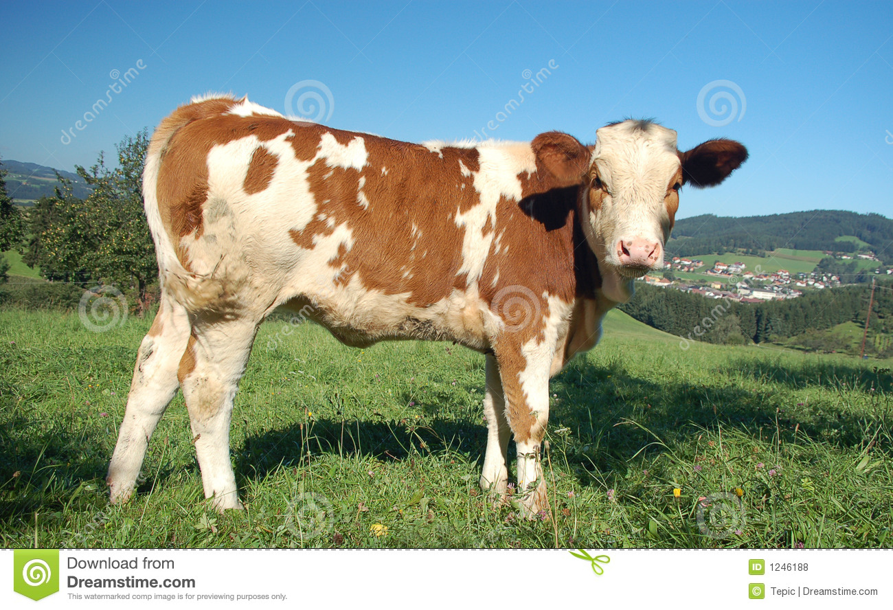cow-side-view-1246188 ...