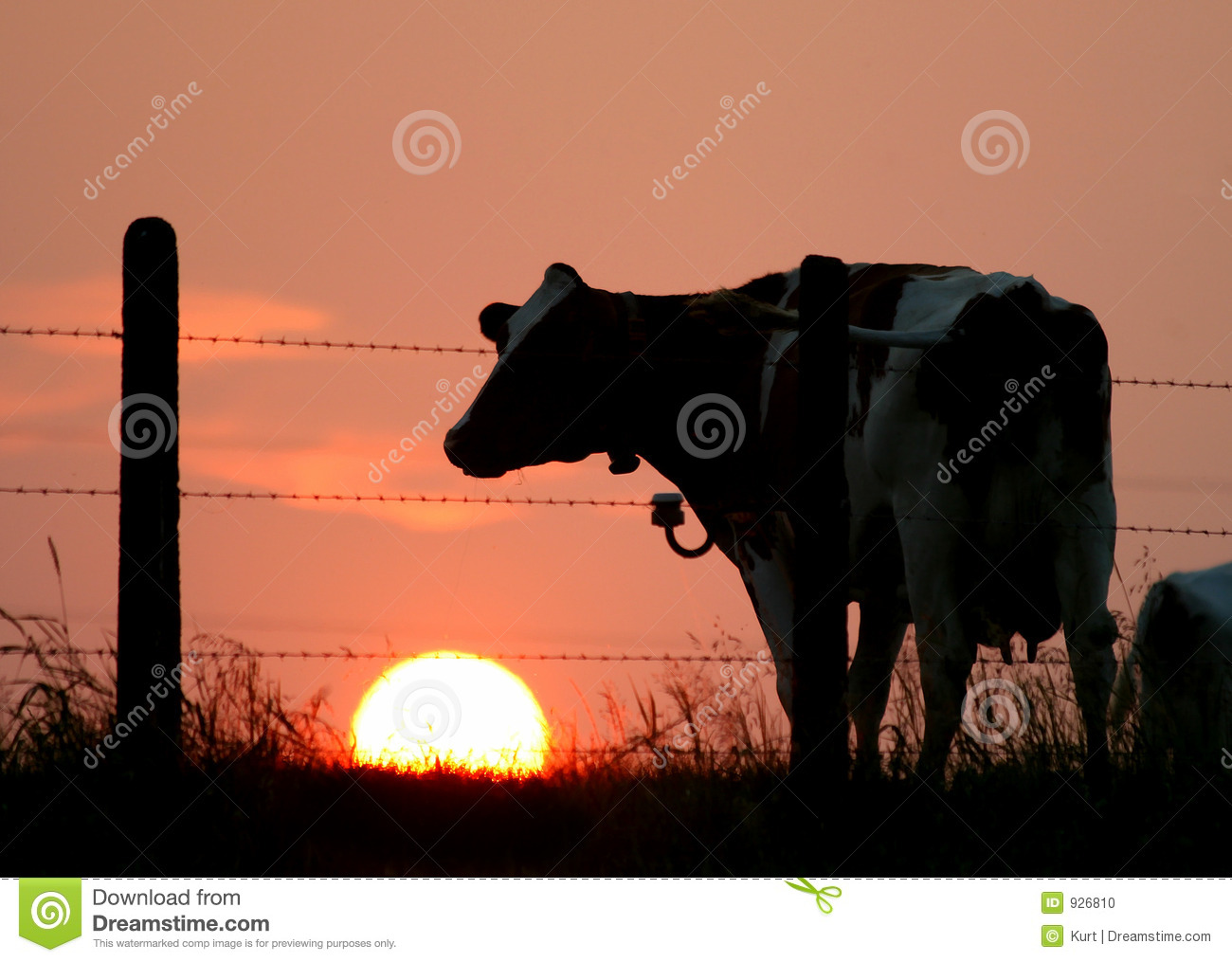 Cow Silhouette Stock Photo Image 926810