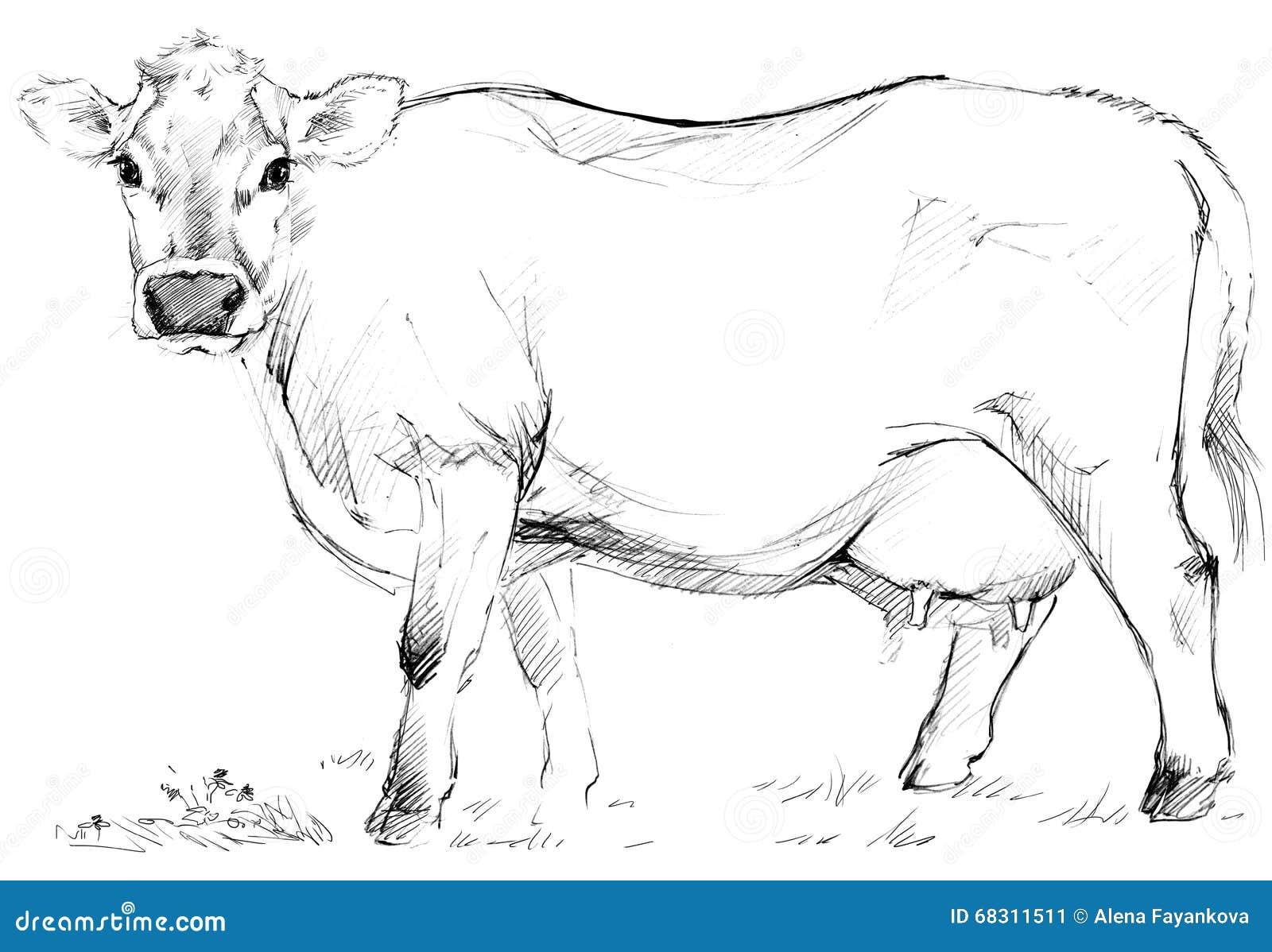 Cow sketch dairy cow pencil sketch stock illustration