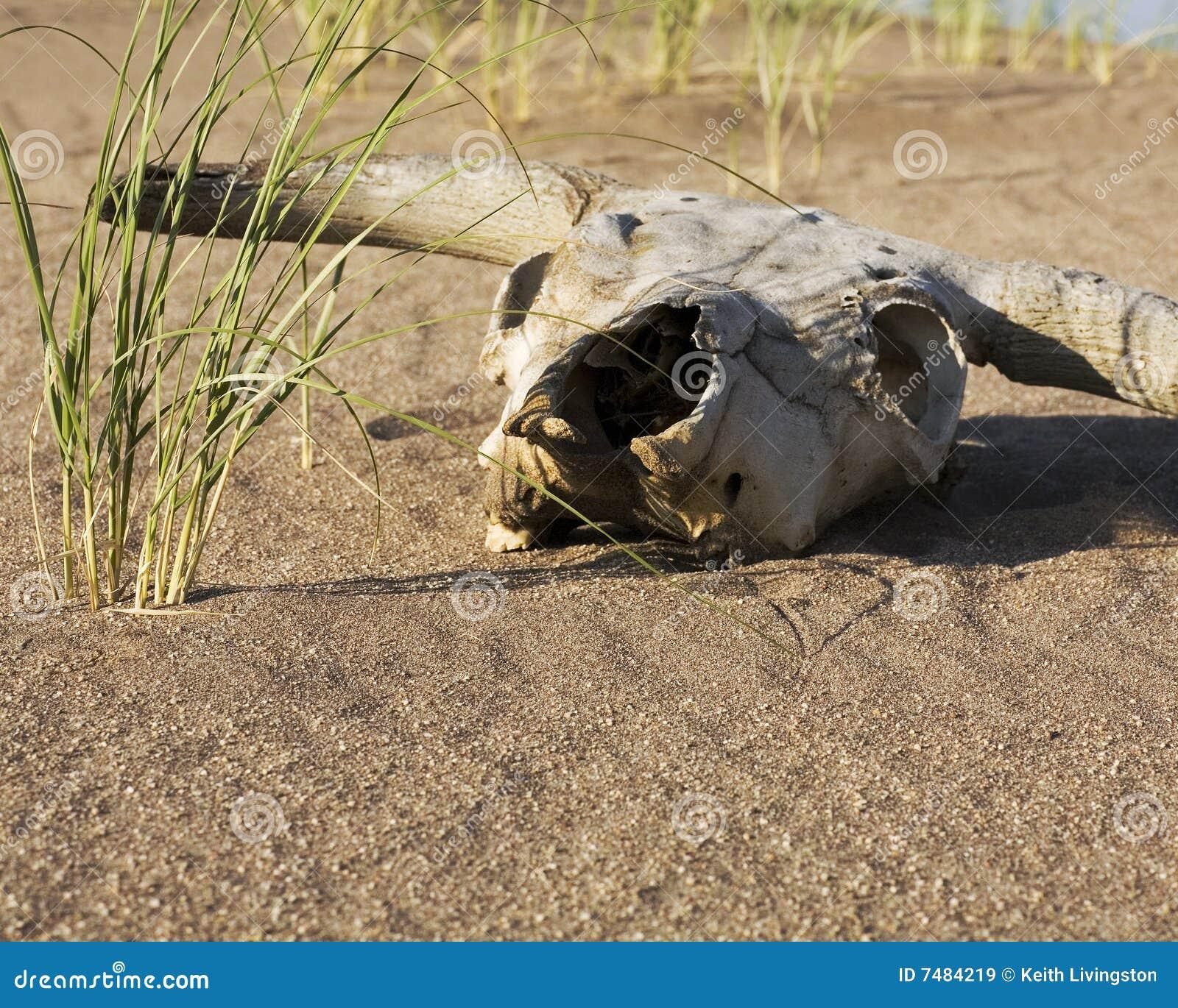 cow skull and desert - photo #17