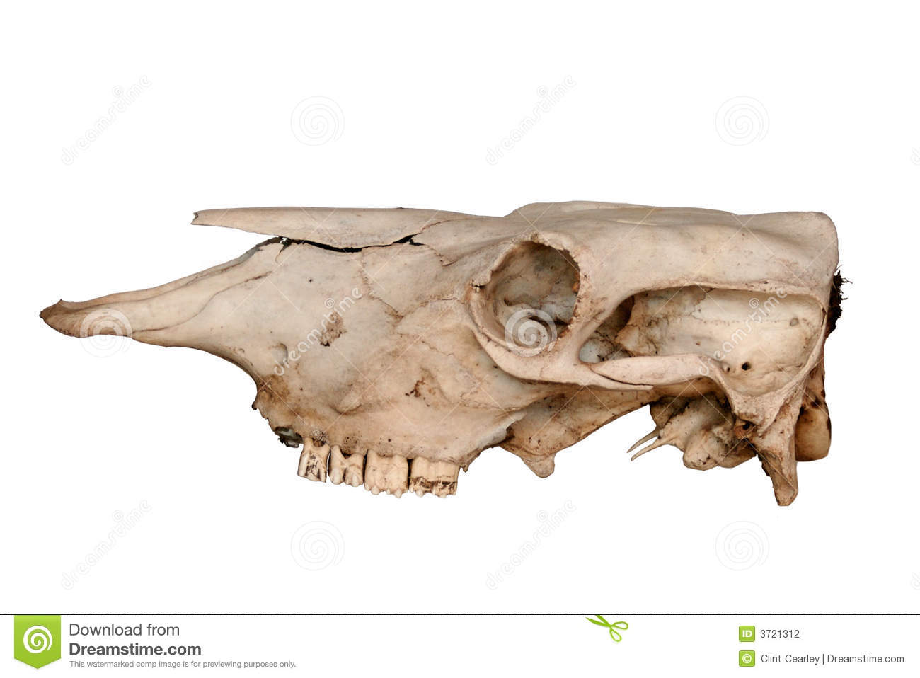 Cow Skull Side View Stock Photography - Image: 3721312 Z Table Chart