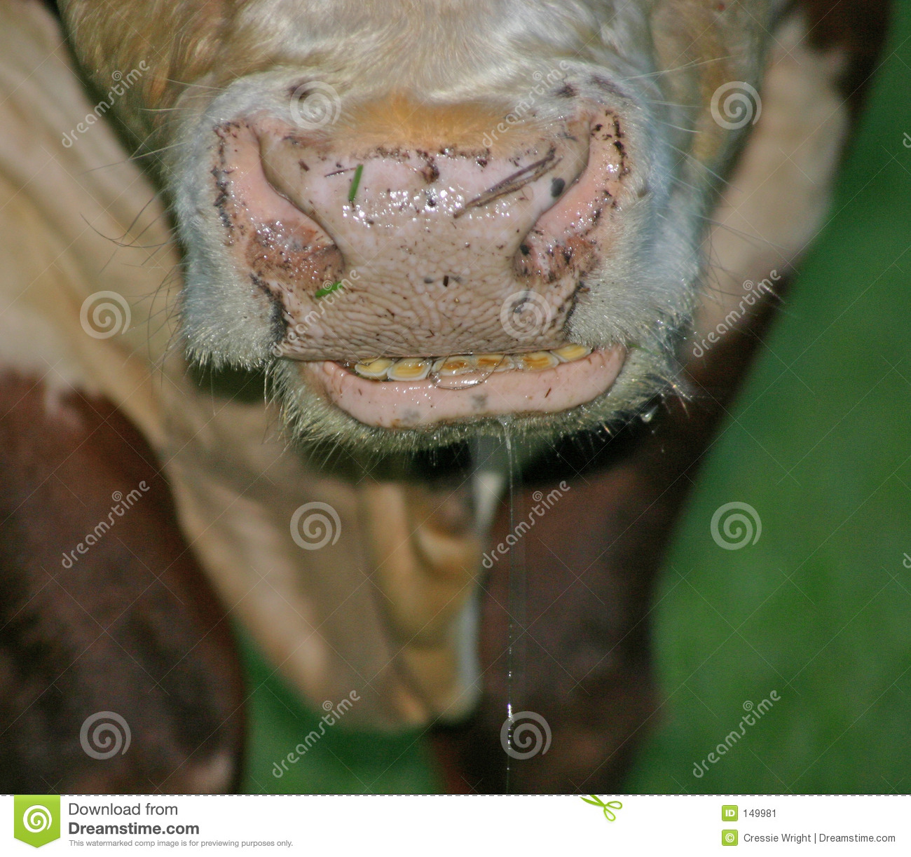 Cow Smile stock image. Image of cows, slobbers, slobber - 149981