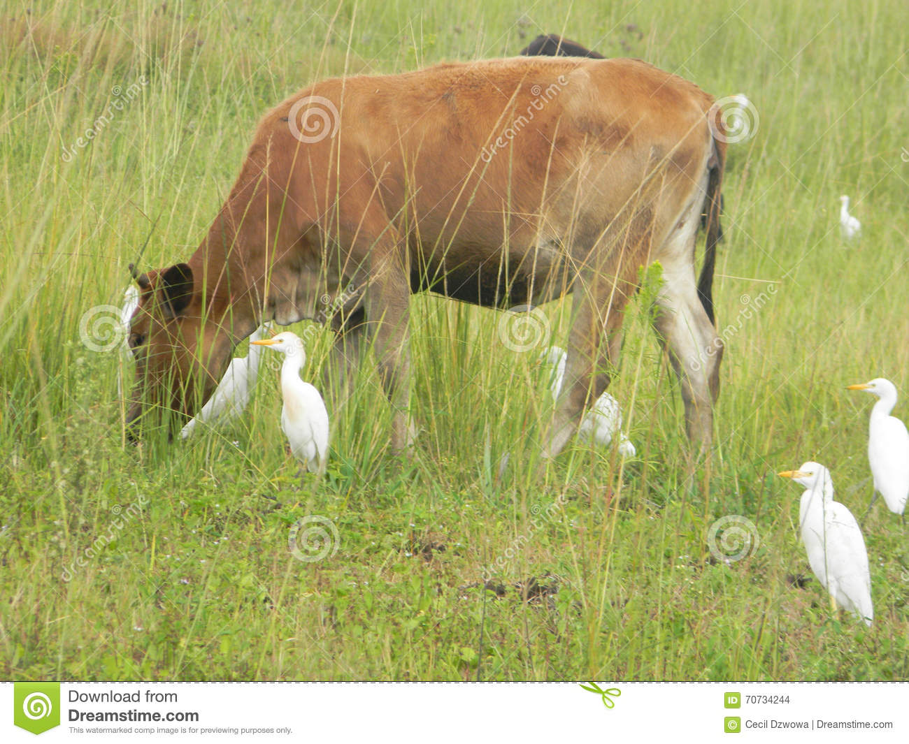 cattle egret and grazing relationship marketing