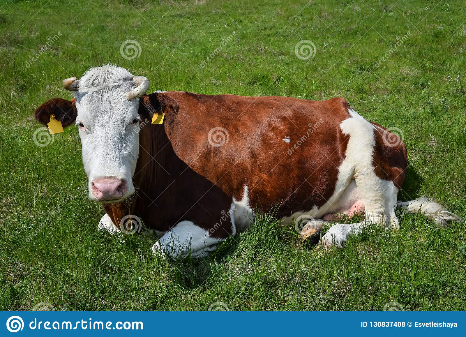 Cow on a spring farm pasture. Very funny black and white cow lies on the grass and looks at the camera. Farm animals.