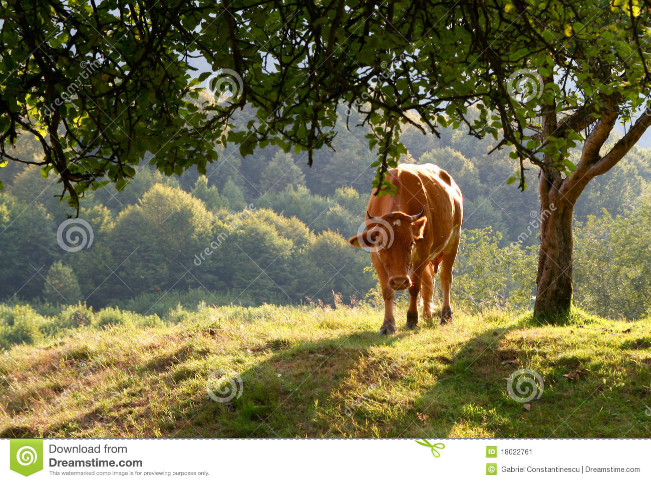 Cow on a sunny meadow
