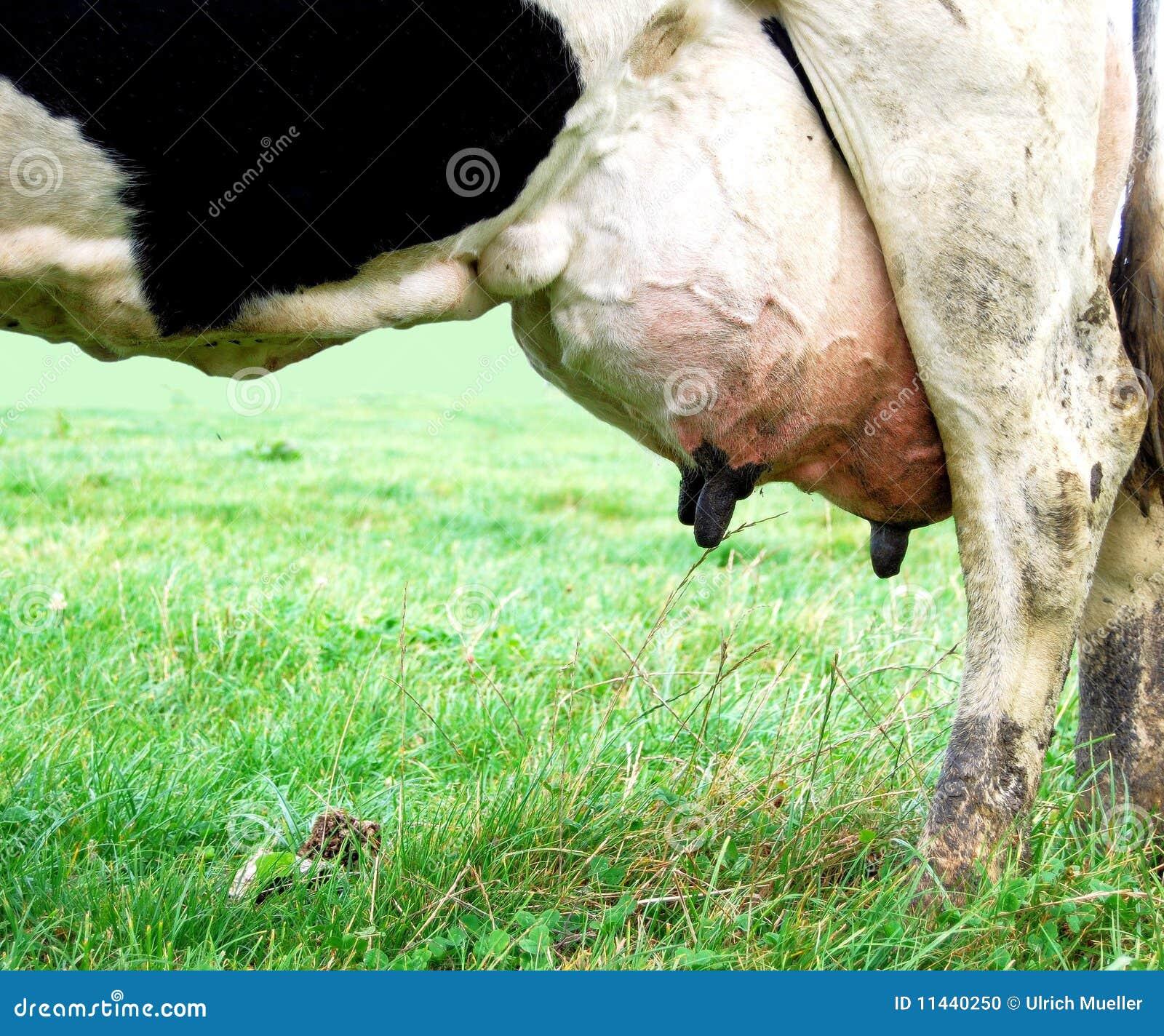 Udder Of Cow Stock Image   CartoonDealer.com #25652197