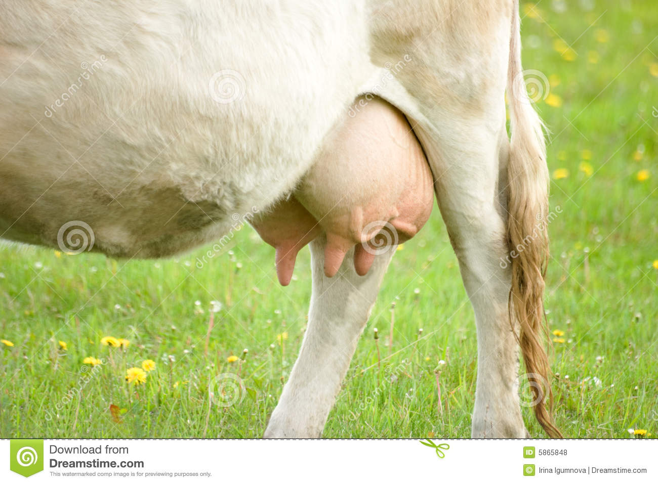 Cow Udder Royalty Free Stock Photos - Image: 5865848