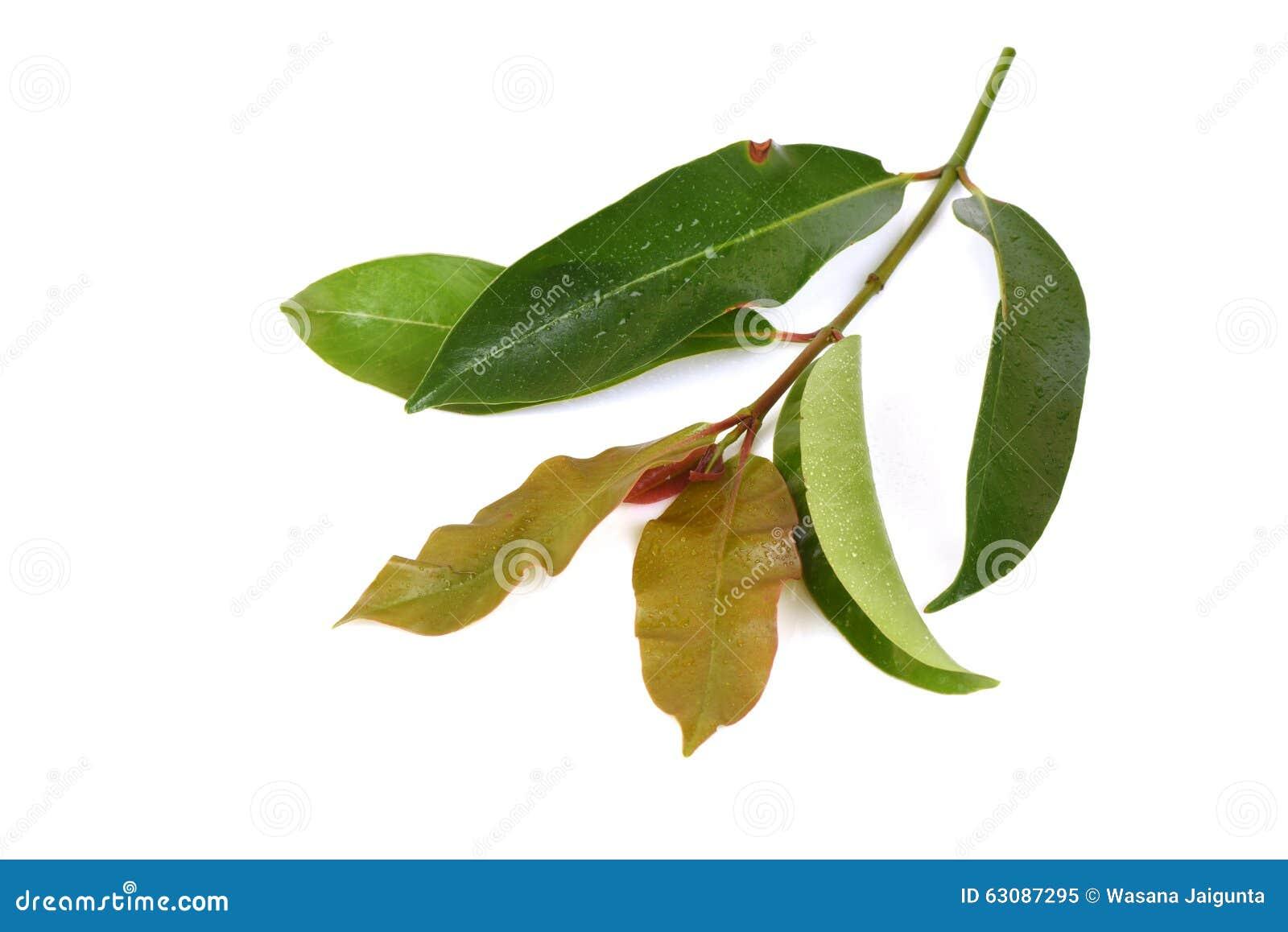 Download Cowa (cowa Roxb De Garcinia ), Chamuang (nom Thaïlandais) Image stock - Image du herbes, effet: 63087295