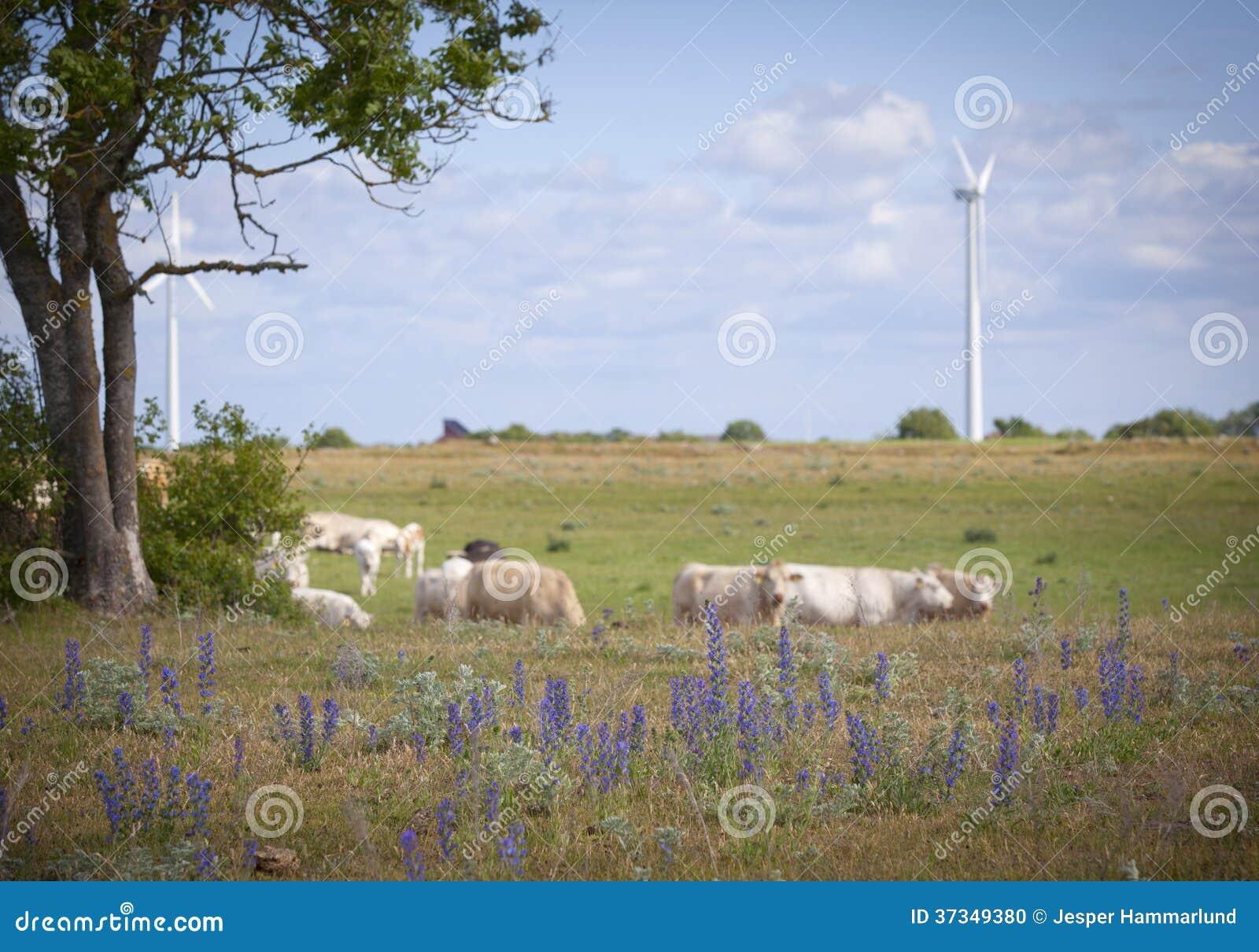 Cowa på ett fält