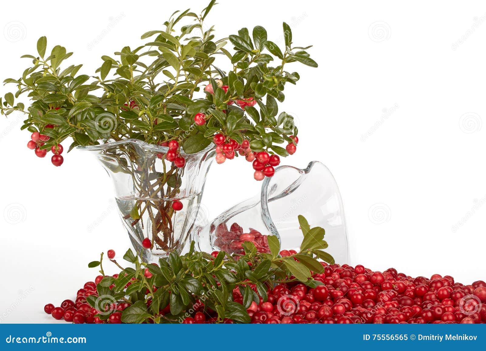 Cowberry φρέσκα πράσινα φύλλα