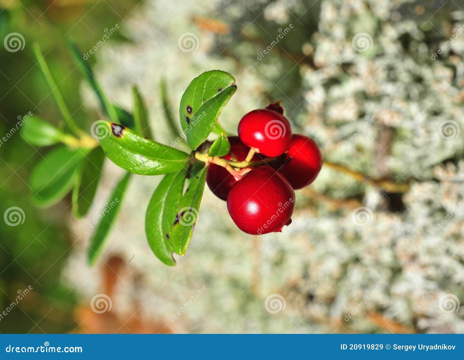 Cowberry Or Lingonberry Vaccinium Vitis idaea  Stock Image ...