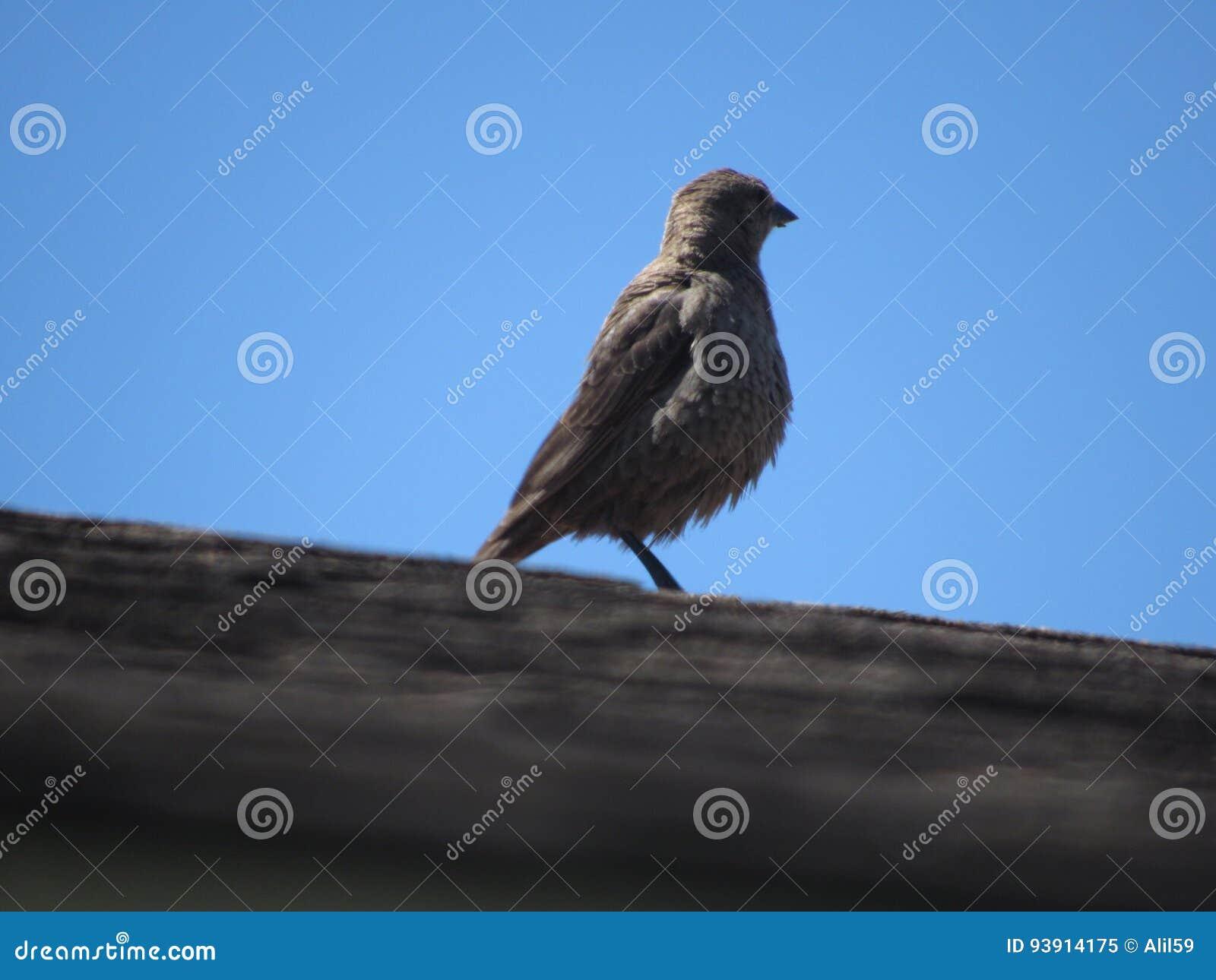 Cowbird που διευθύνεται καφε