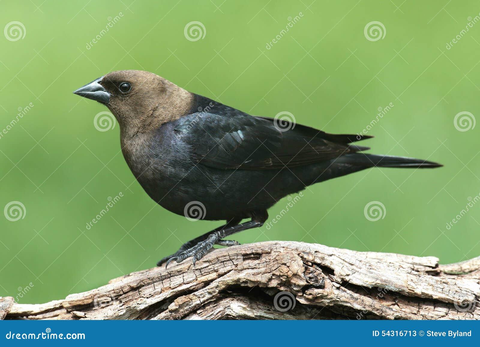 Cowbird maschio su una pertica