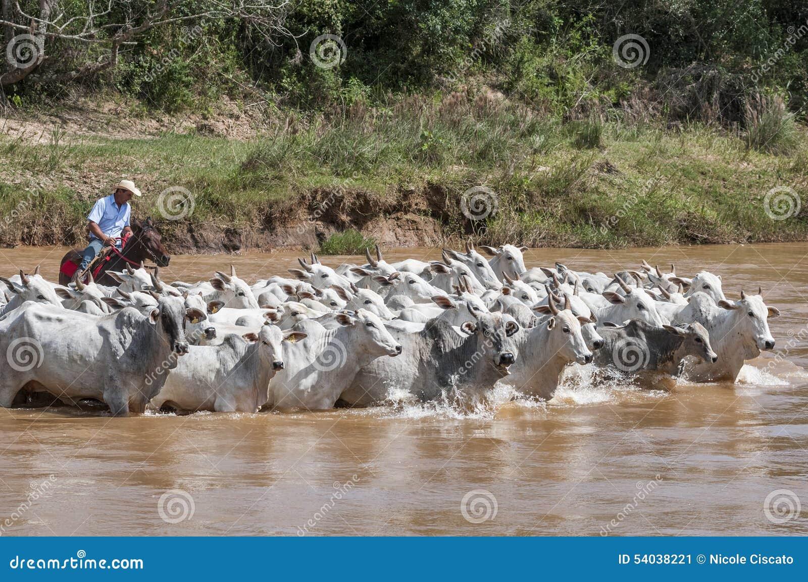 Cowboy brésilien avec des vaches