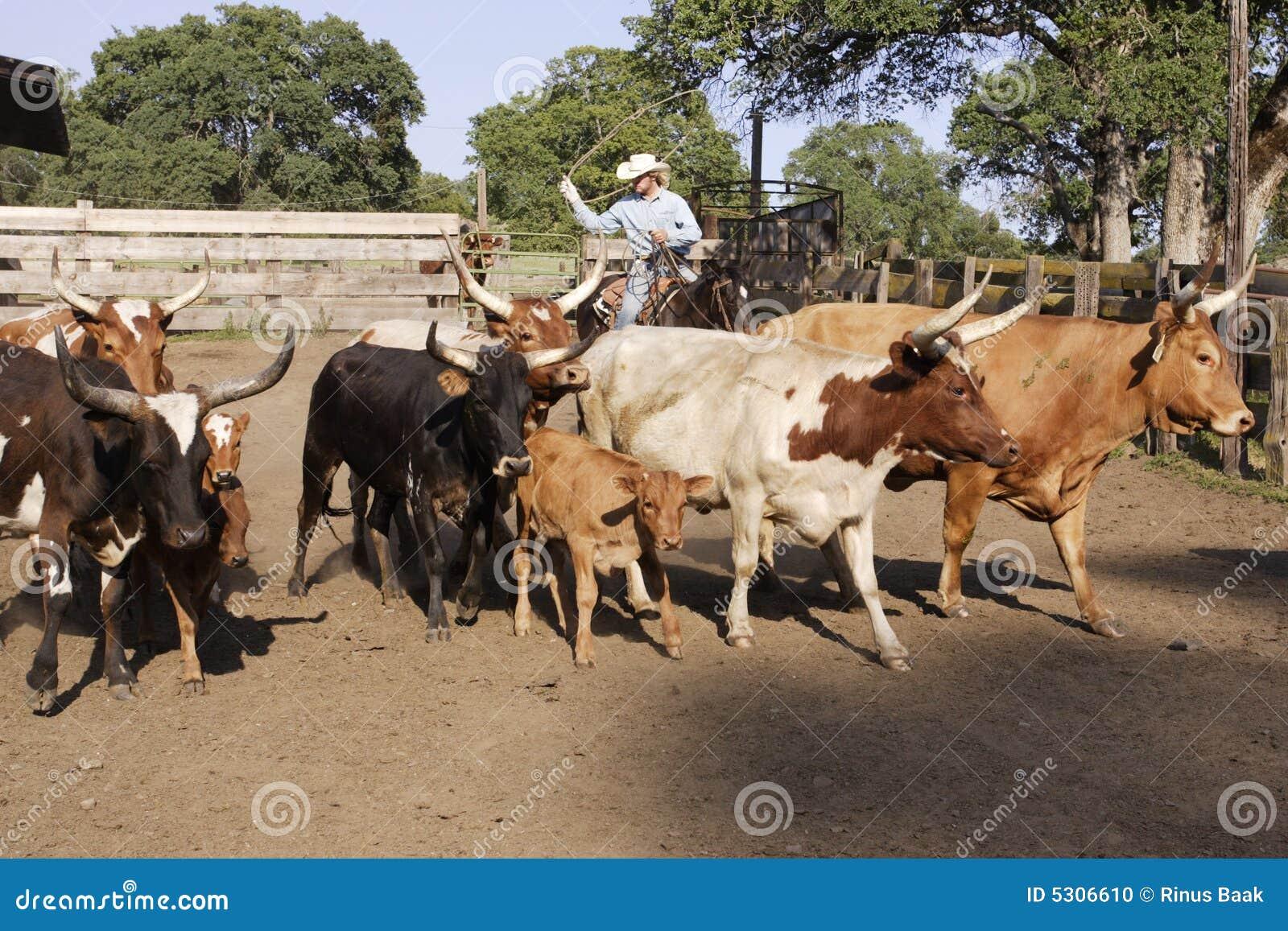 Download Cowboy Che Raduna Il Bestiame Fotografia Stock - Immagine di bestiami, occidentale: 5306610
