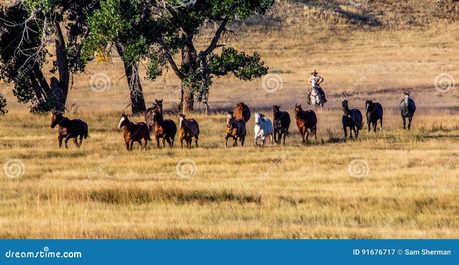 Cowboy Wrangling a Herd of Horses