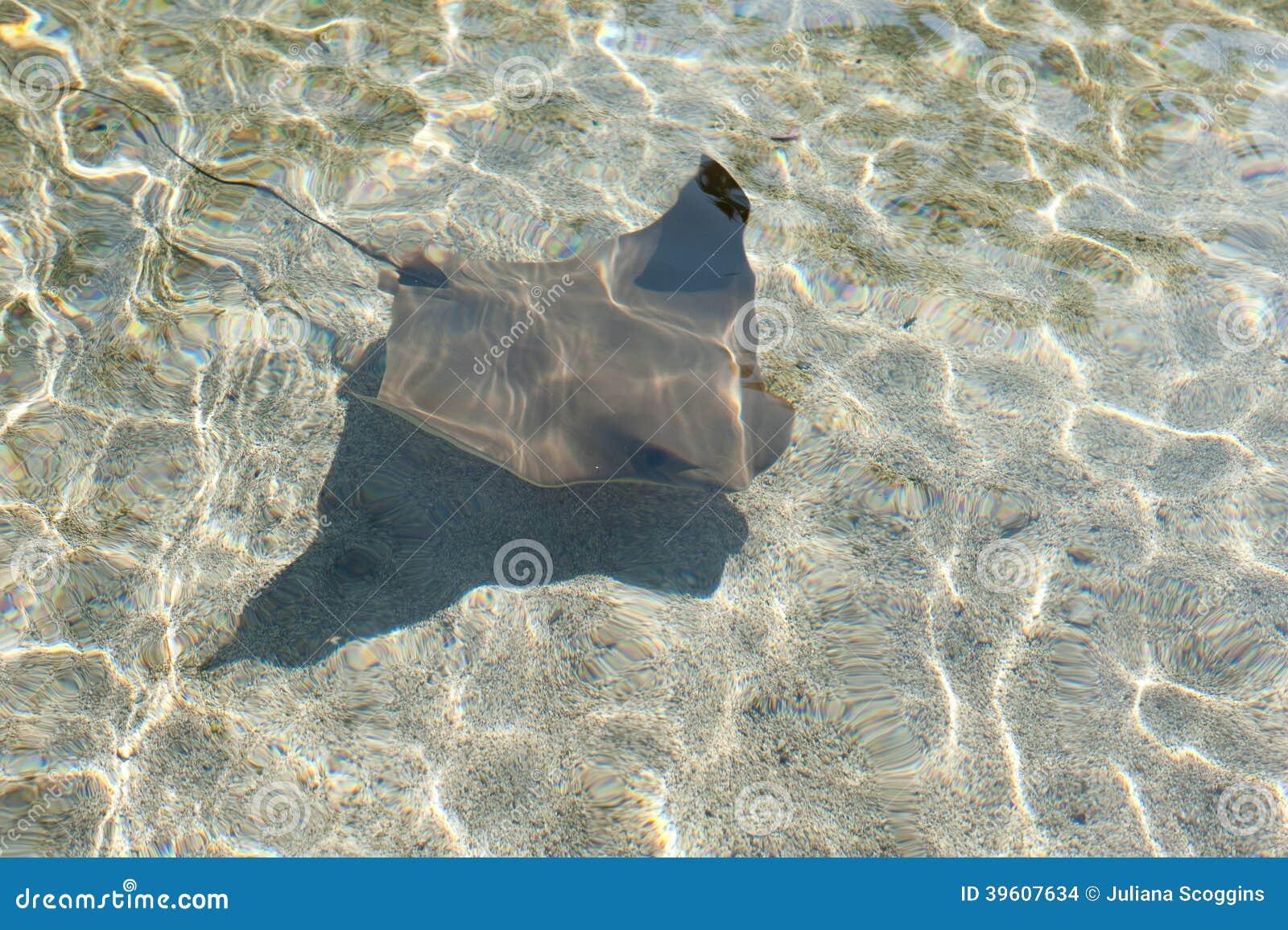 Cownose Ray am Aquarium des Pazifiks in Long Beach
