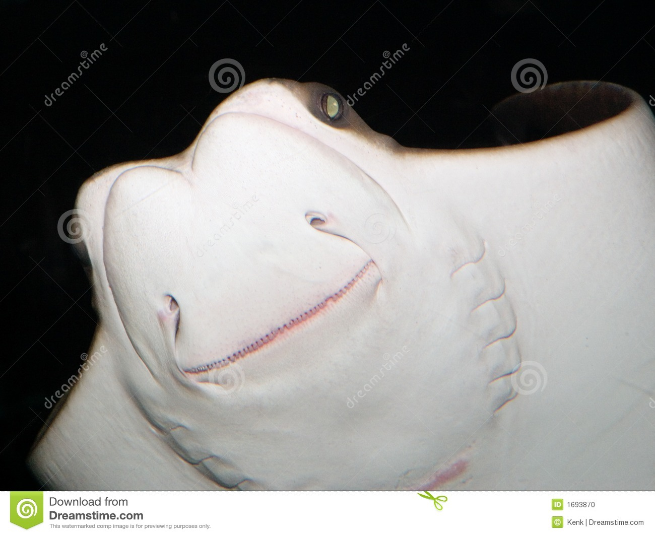 Cownose Ray- Underside Shot with Flash