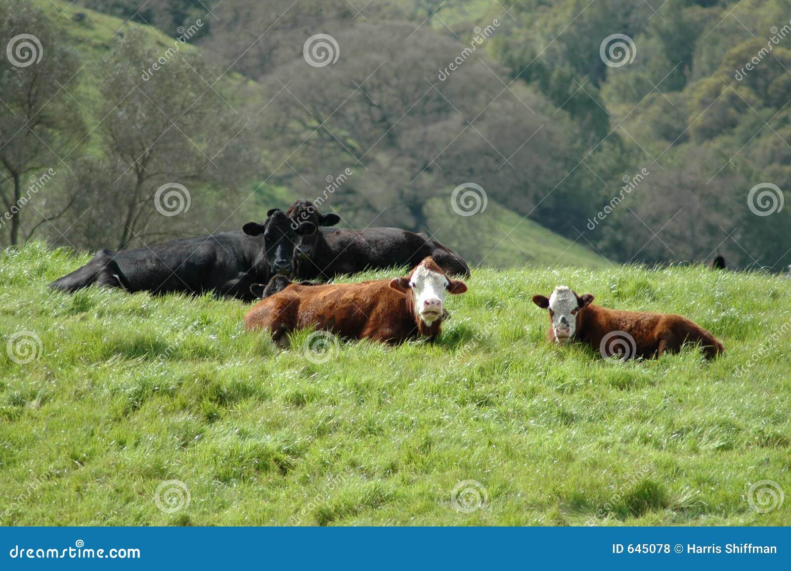 Download Cows выразительное стоковое фото. изображение насчитывающей поле - 645078