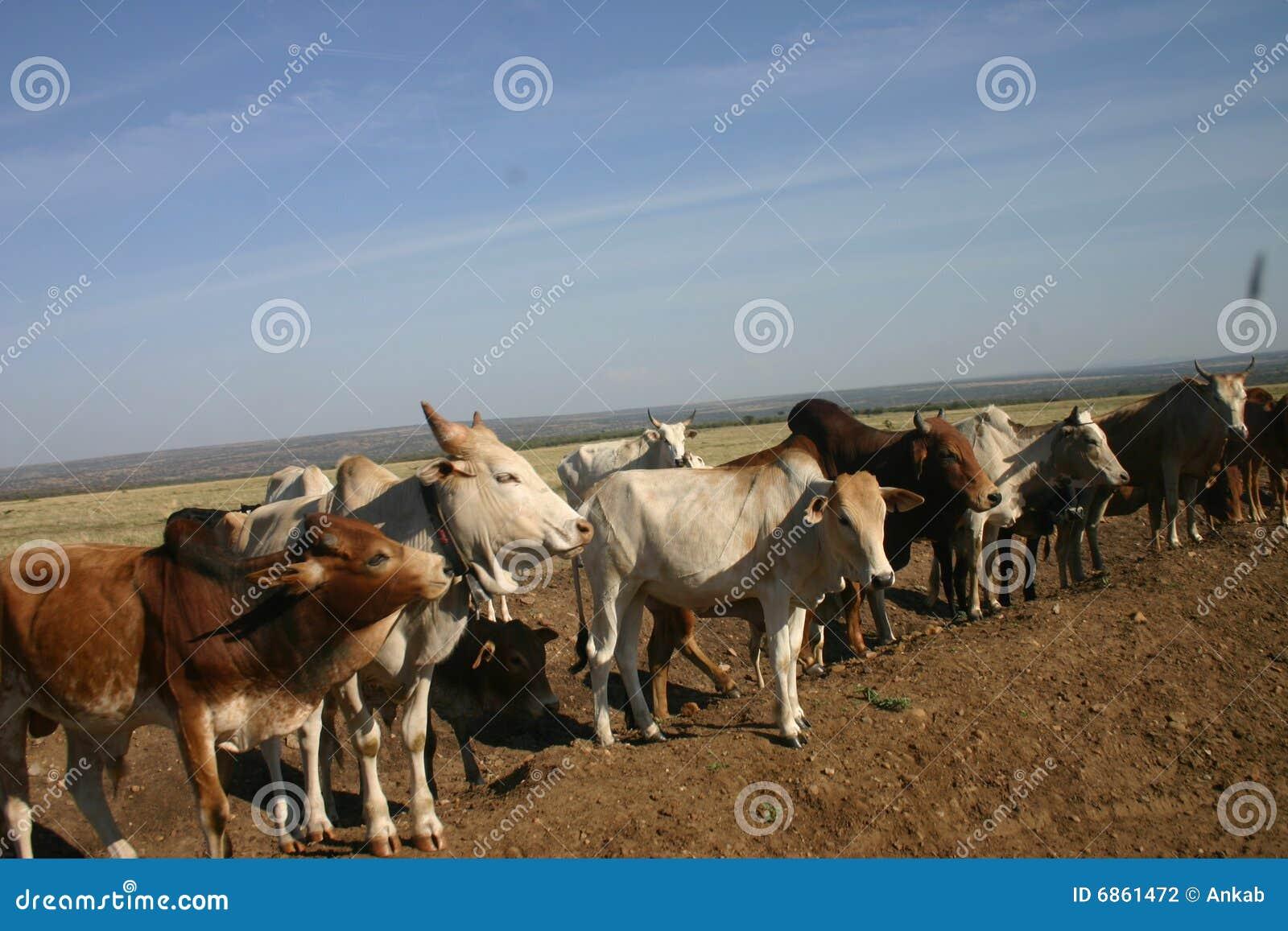Cows дорога
