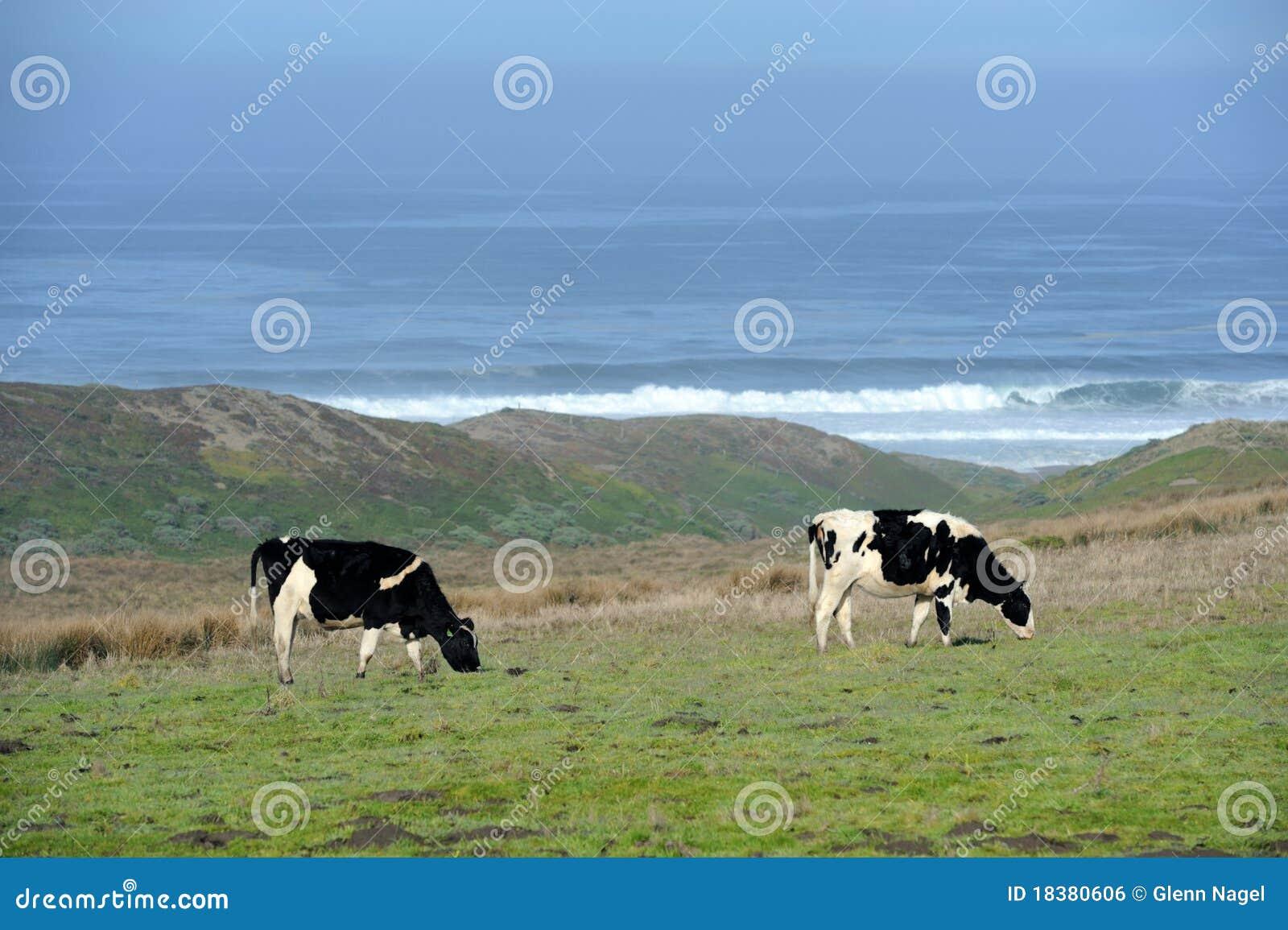Cows молокозавод пася океан 2